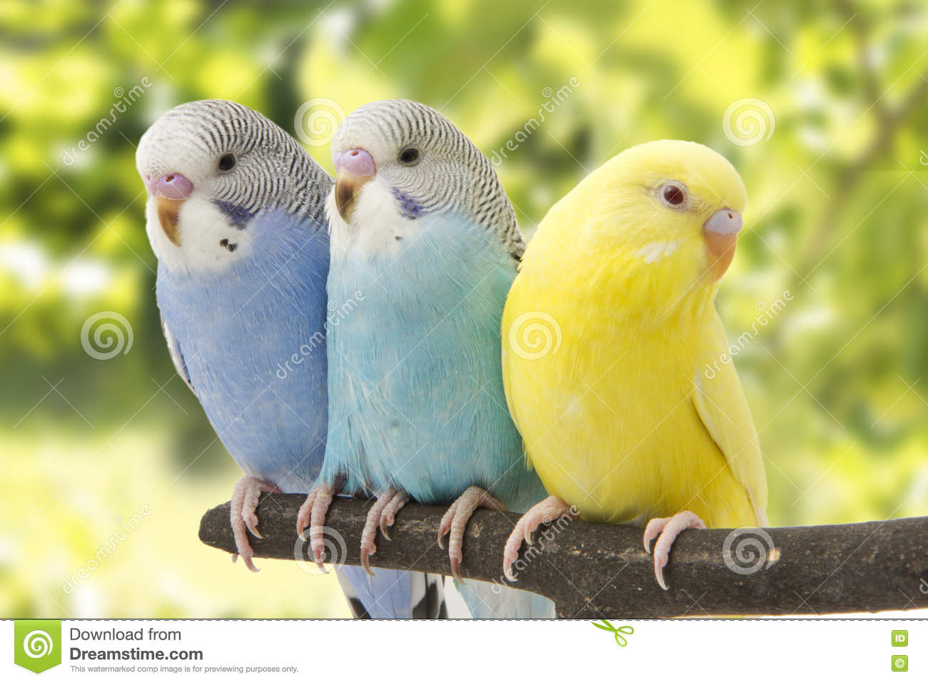 three budgies are in the roost stock image image of animal budgie
