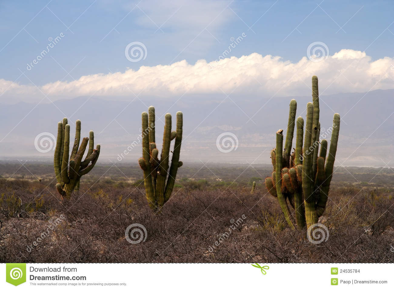 Three cactuses
