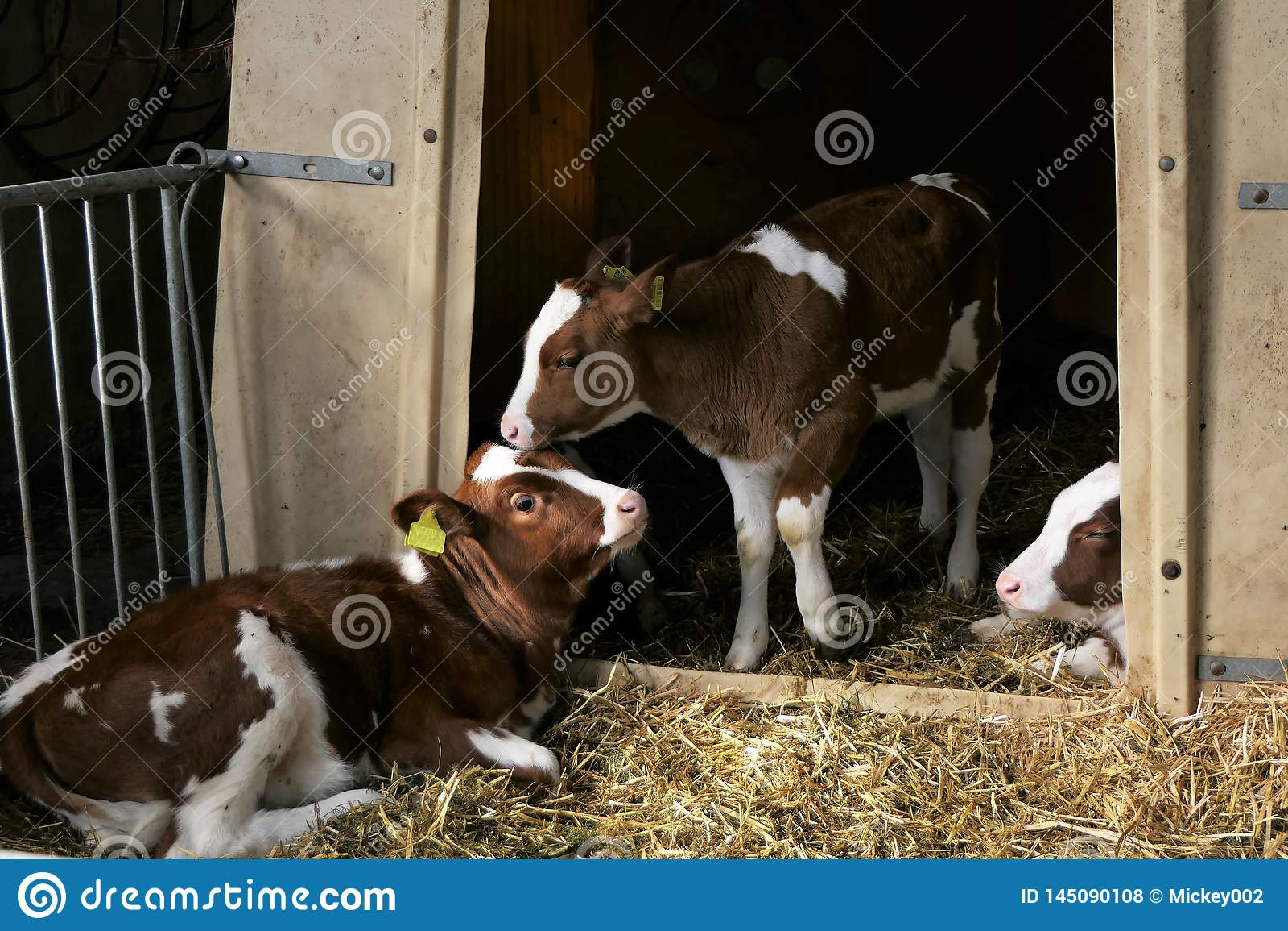 Three calfs stable
