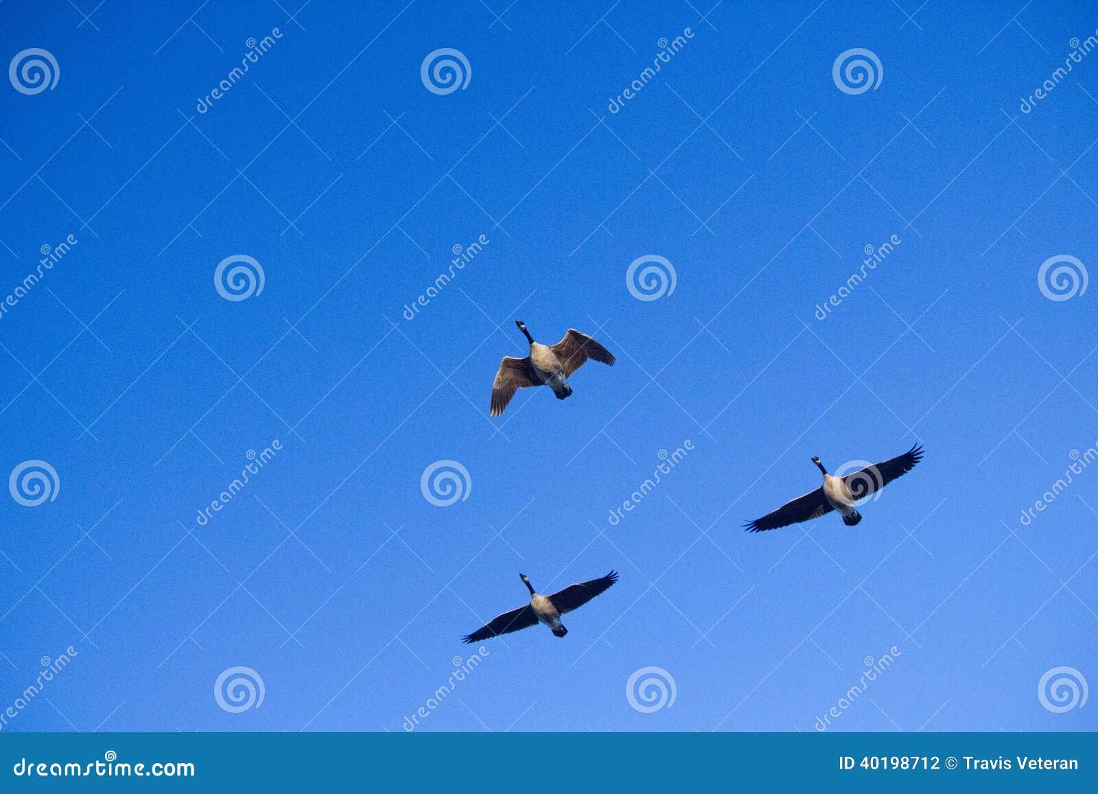 Three Canadian Honkers Geese