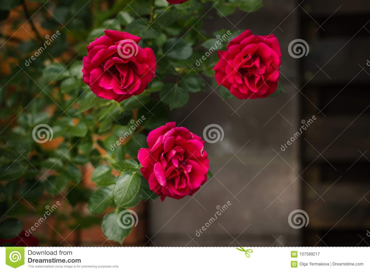 Three Charming Gently Red Roses Grey Wall Stock Image Image Of