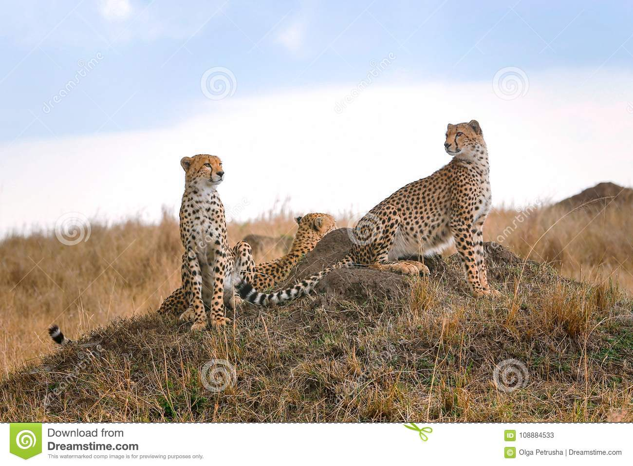 Three cheetahs in the savannah
