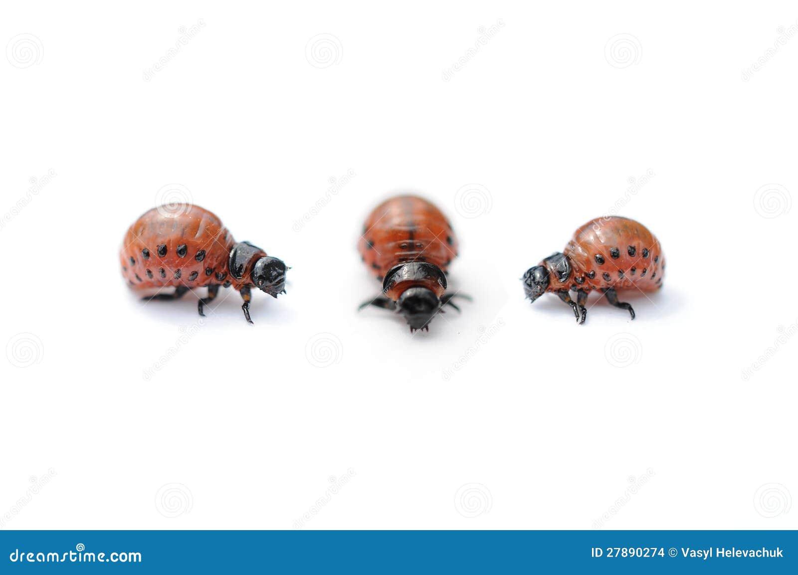 Three Colorado potato bug