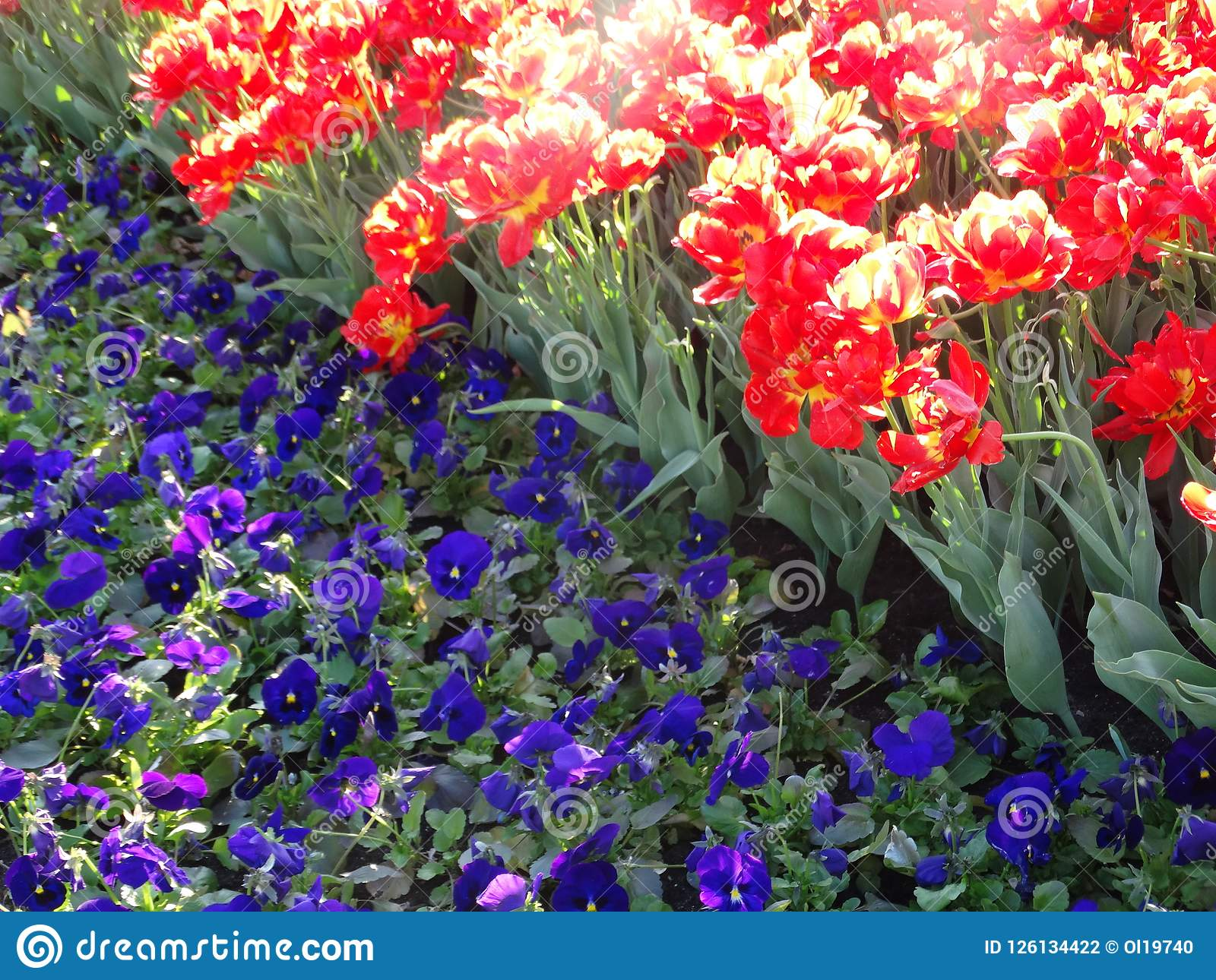 Three Colored Violas And Red Tulips Stock Photo Image Of Purple