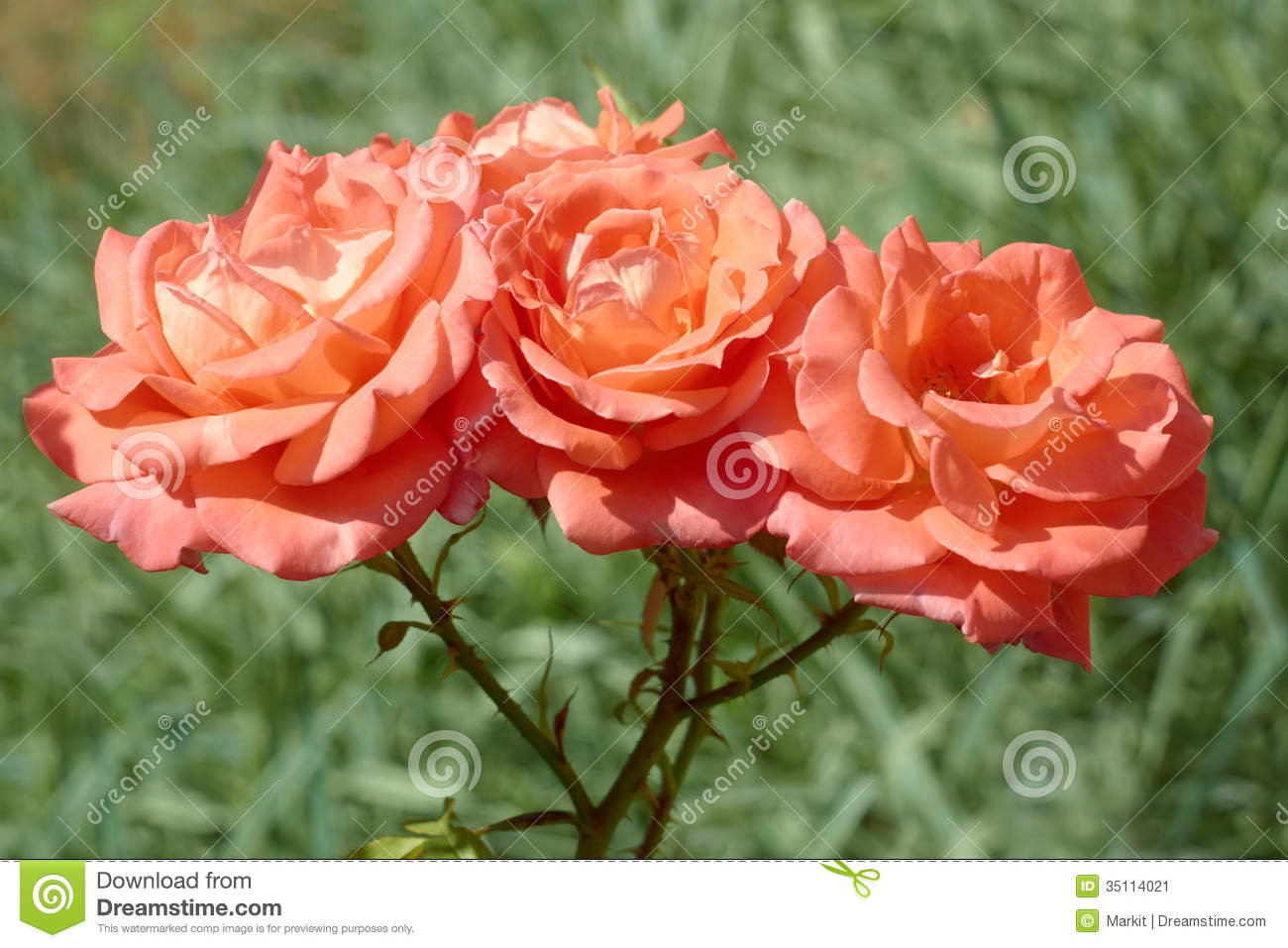 Three coral roses stock image image 35114021 - Rosas color coral ...