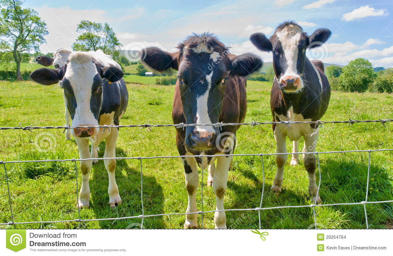 Three Cows Behind A Barbed Wire Fence Stock Photo Image