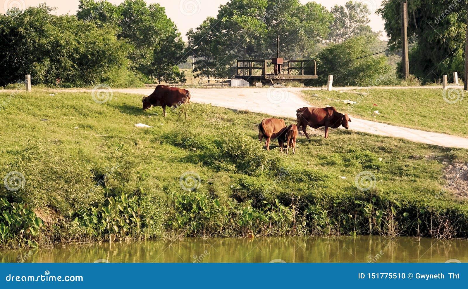 Three cows graze green grass on village roads