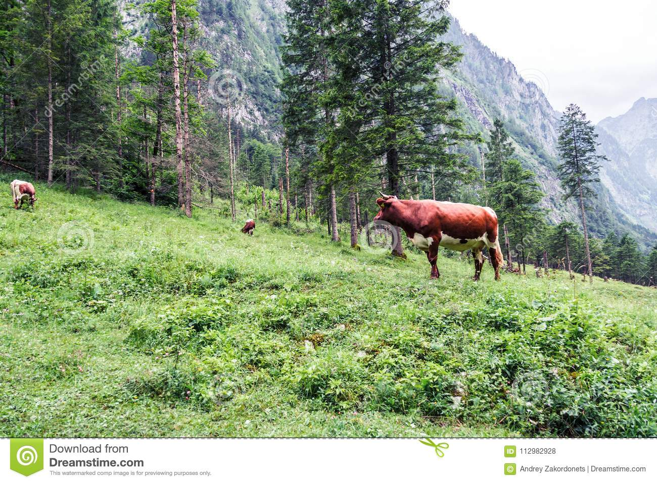Three cows in the mountains in the Alps, Bavaria, Berchtesgaden, Obersee.