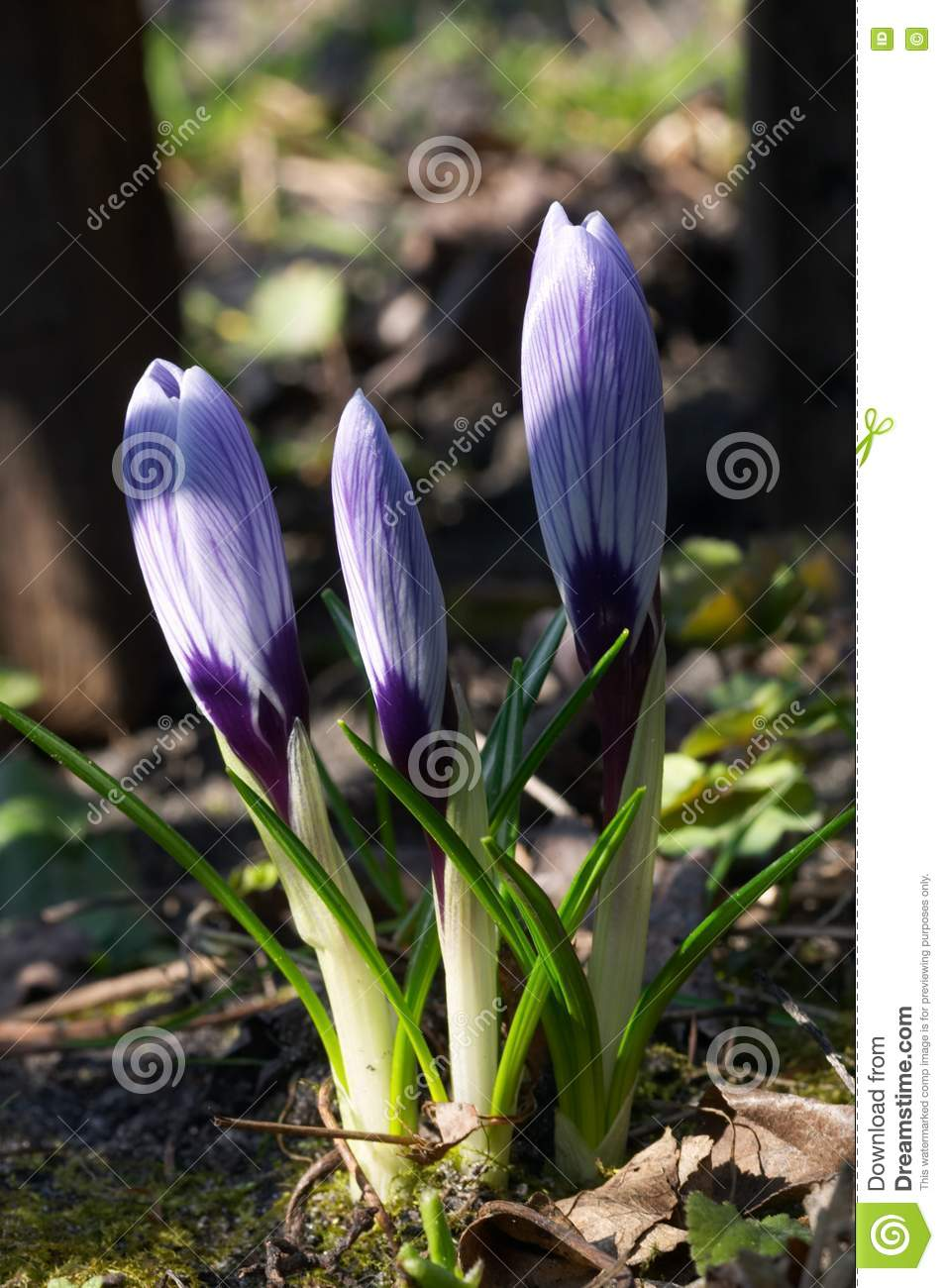 Three crocuses