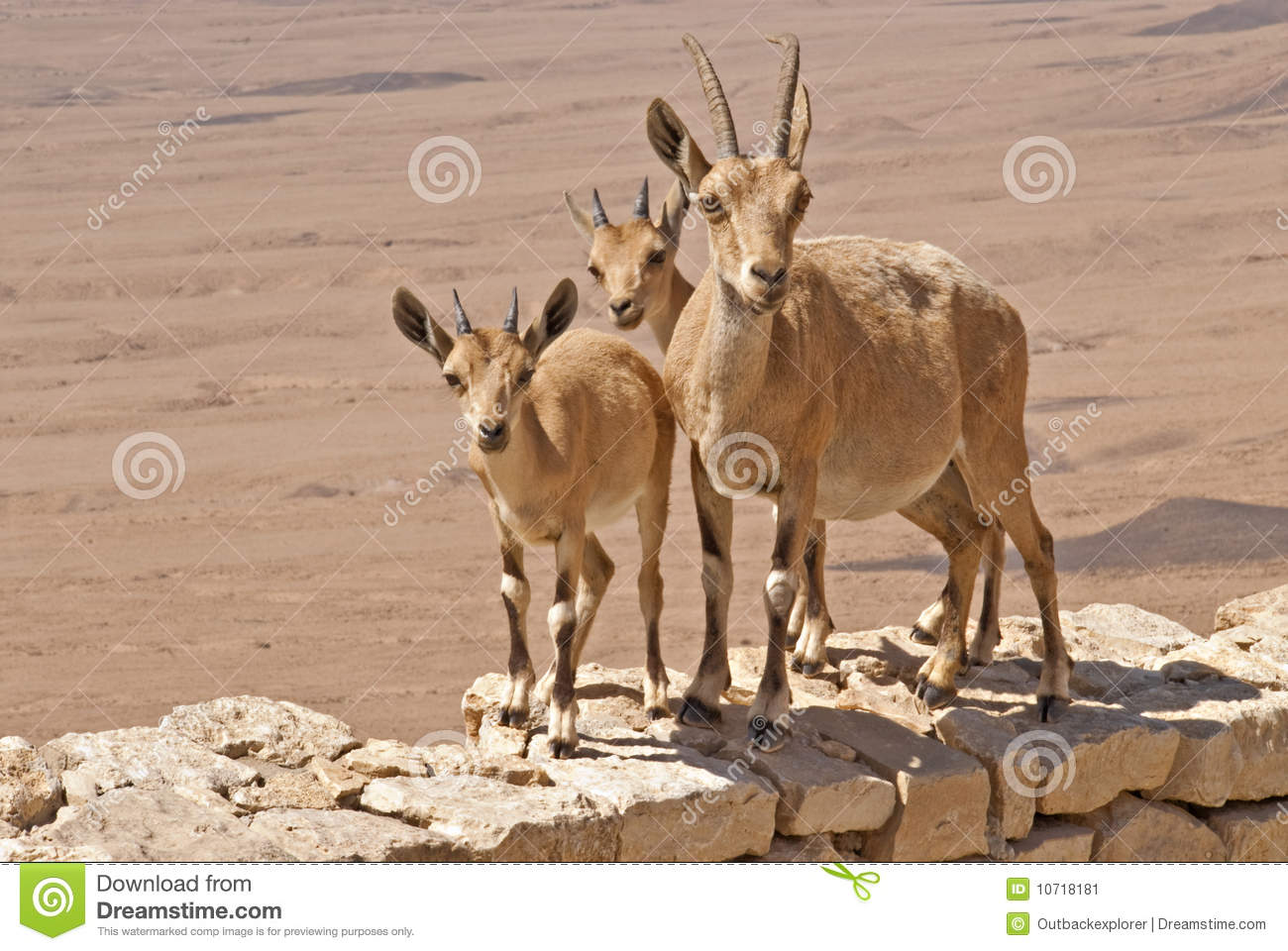 Three curious mountain goats in the desert