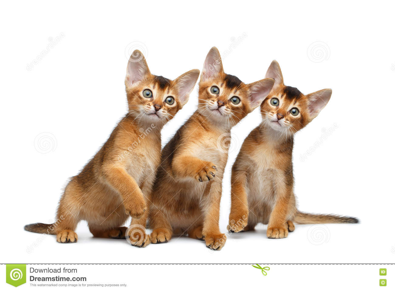 Three Cute Abyssinian Kitten Sitting on Isolated White Background