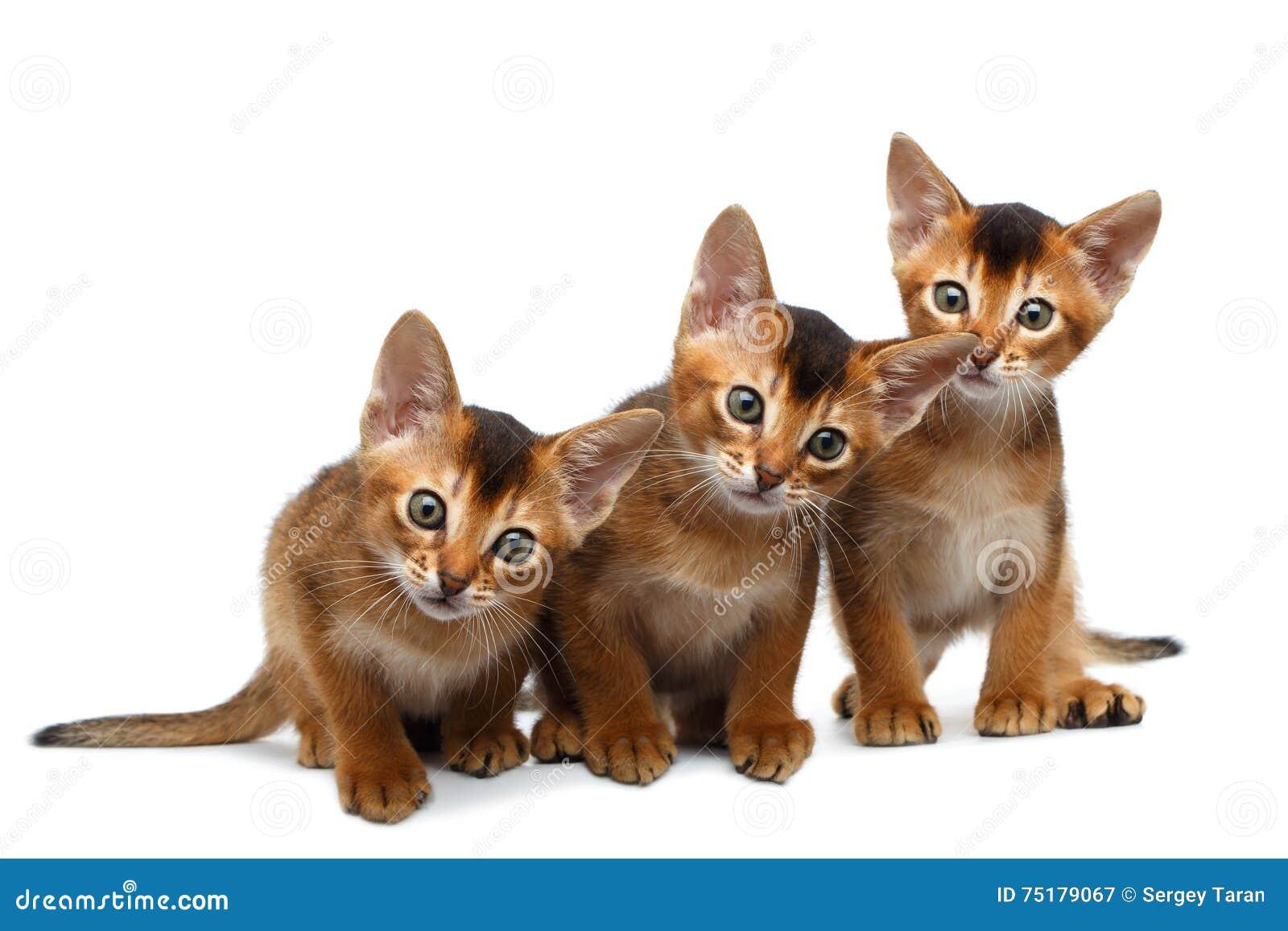 bengal cat length
