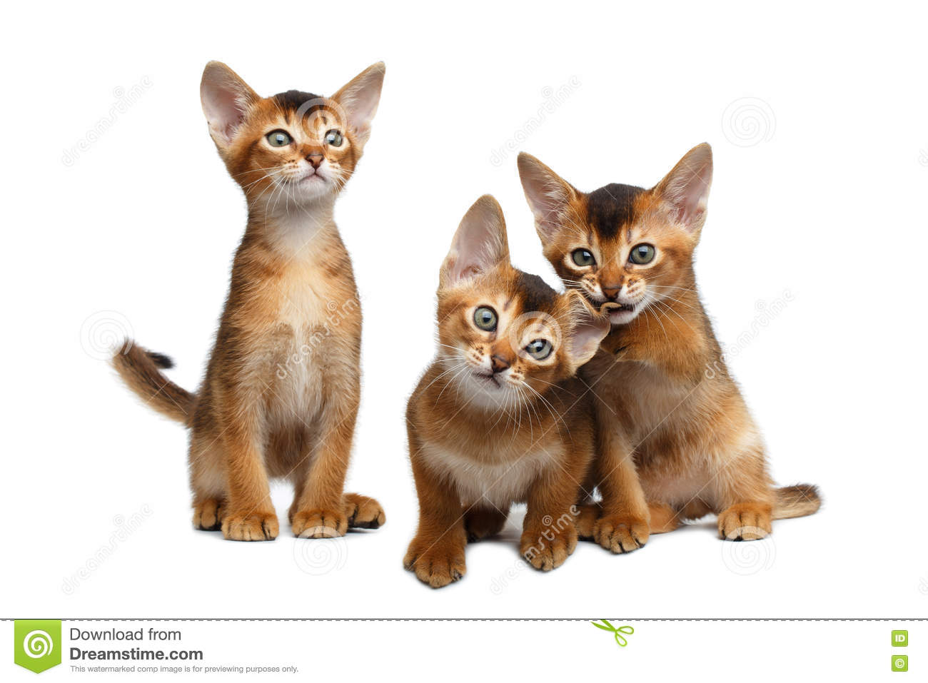 Three Cute Abyssinian Kitten Sitting On Isolated White Background ...