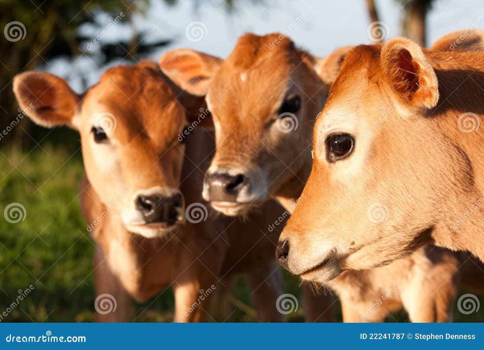 Three cute farm cow calves standing