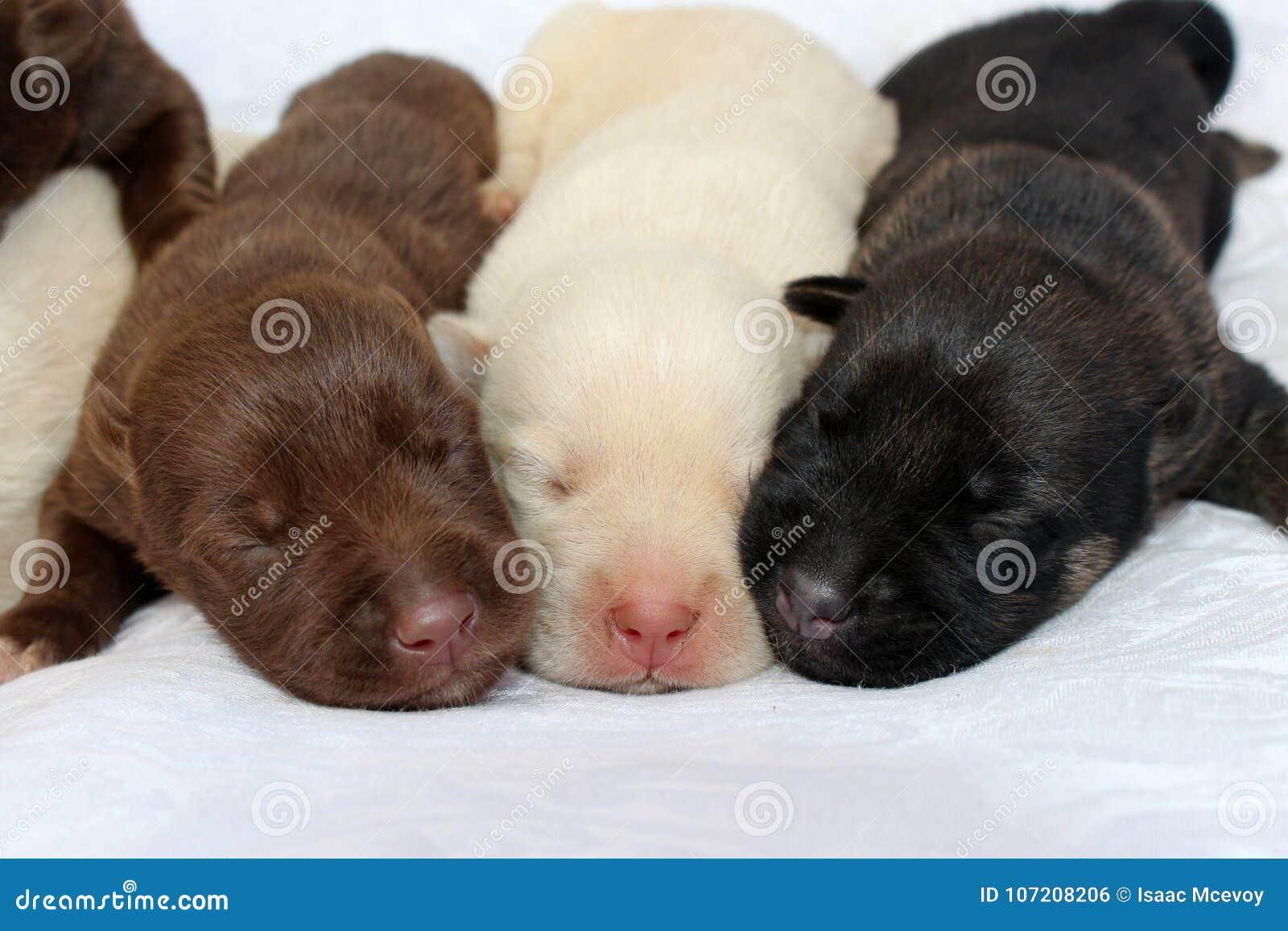 Three Cute Newborn Puppies Stock Photo Image Of Colors 107208206