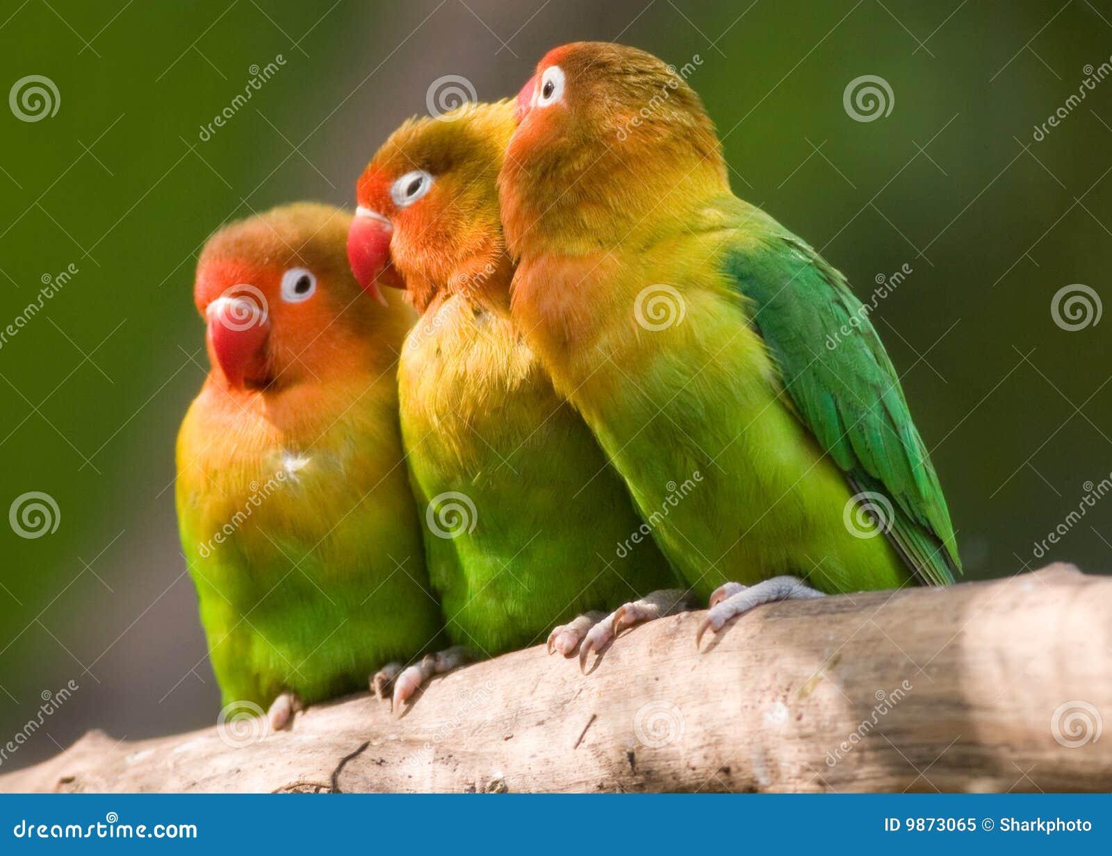 The Three Lovebirds