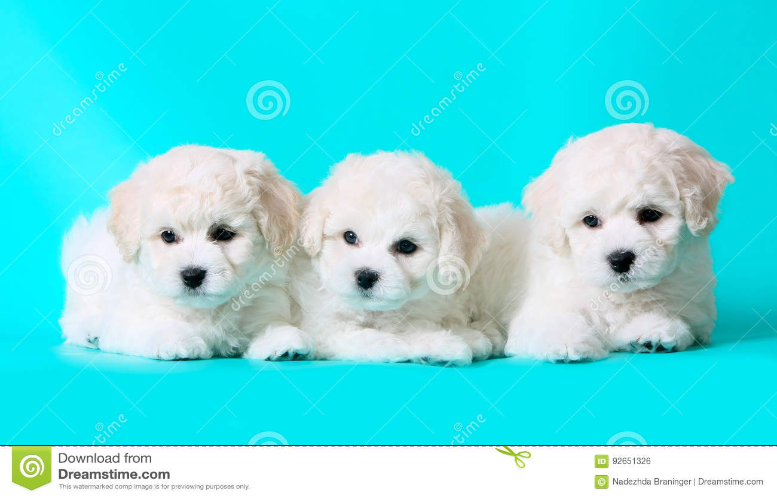 Three Cute Puppies White Breed Bichon Frize Puppies Stock Photo