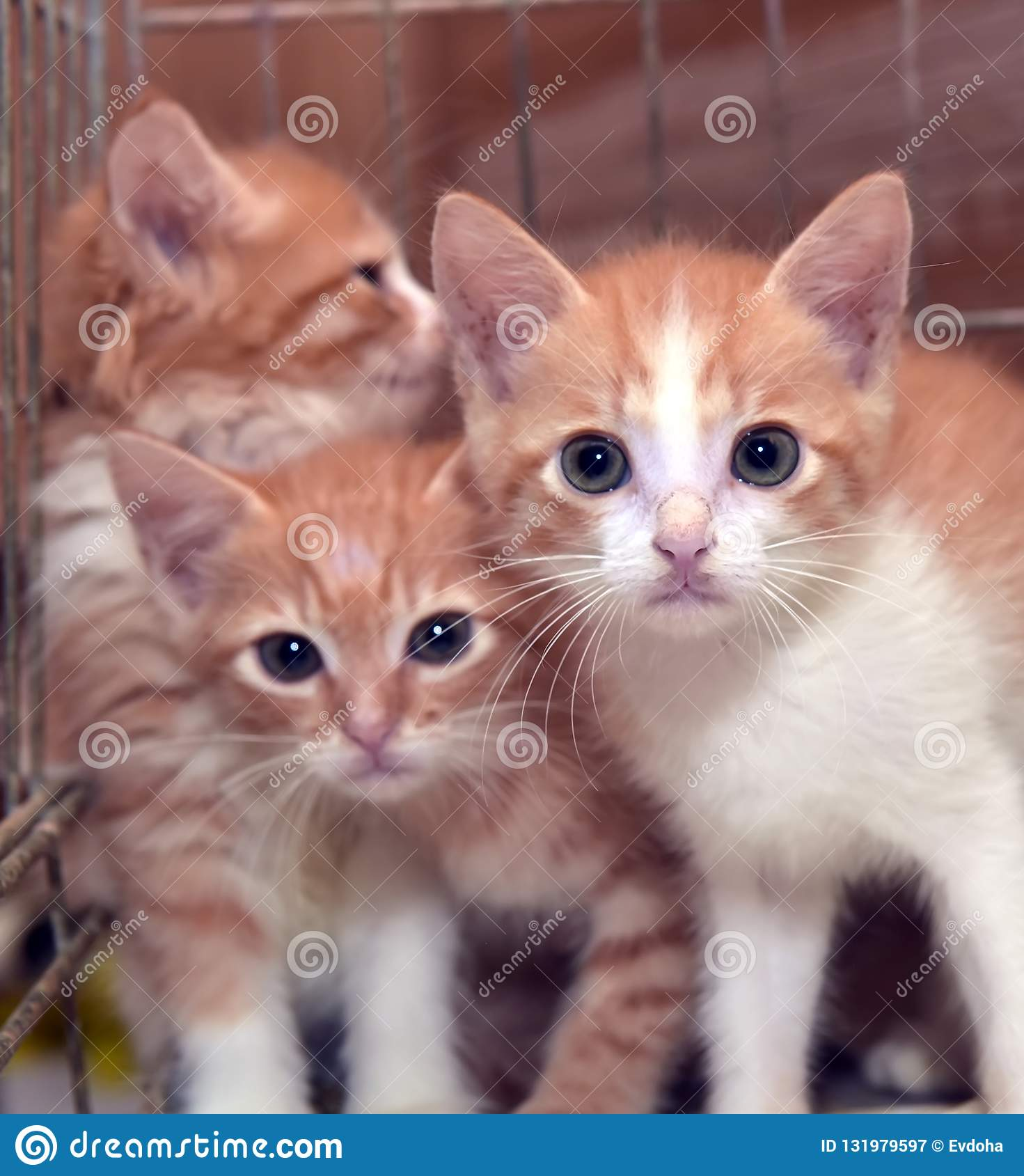 Three cute red kittens