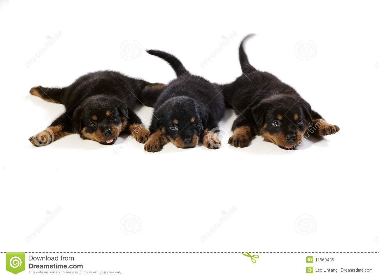Three Cute Rottweiler Puppies Stock Image Image Of Canine Young