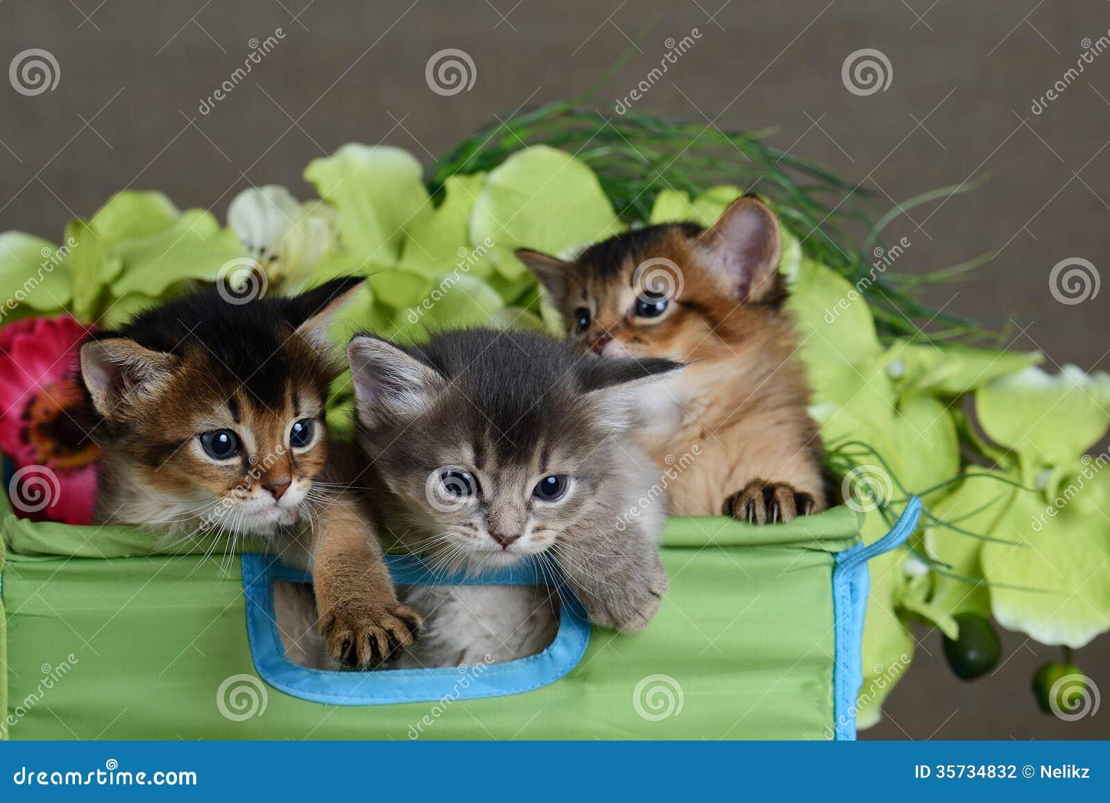 Three Cute Somali Kittens Isolated Stock Photography ...