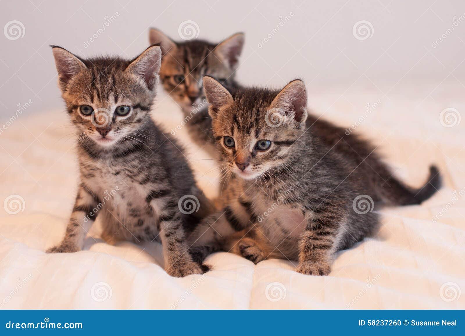 Three Cute Tabby Kittens Soft f white forter Stock