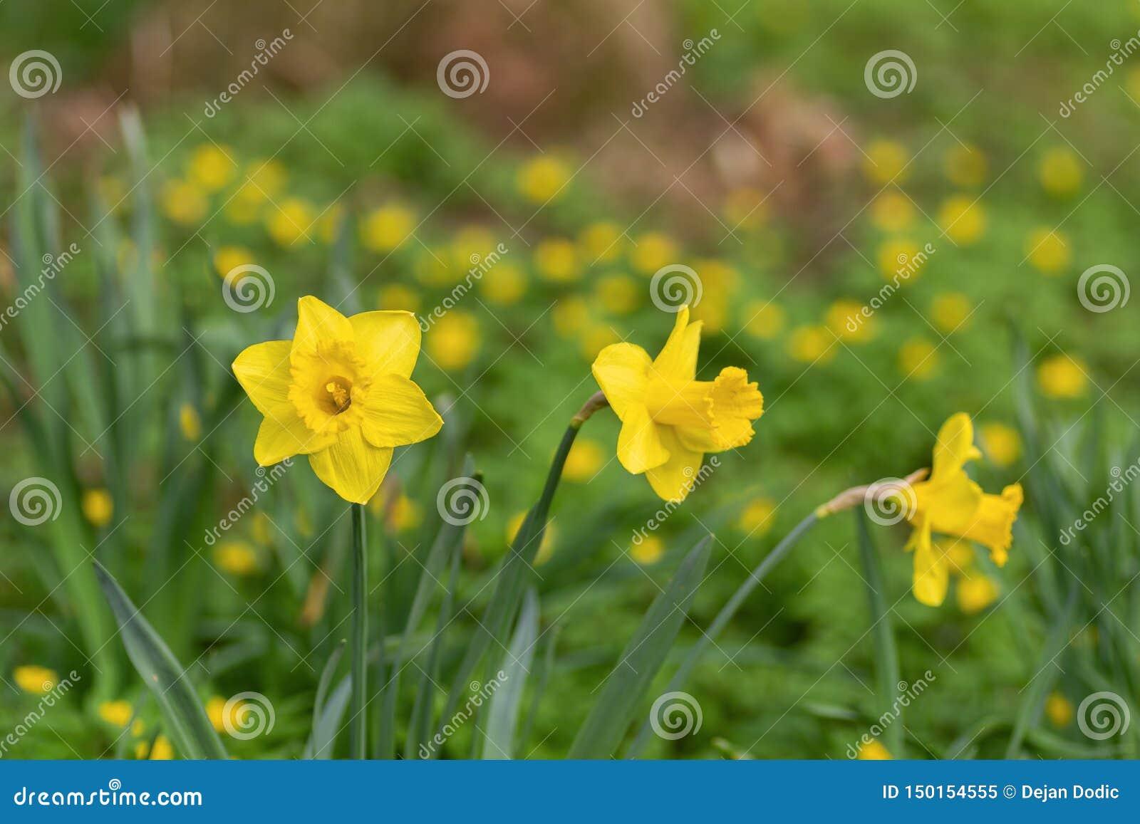Daffodil flowers in a field