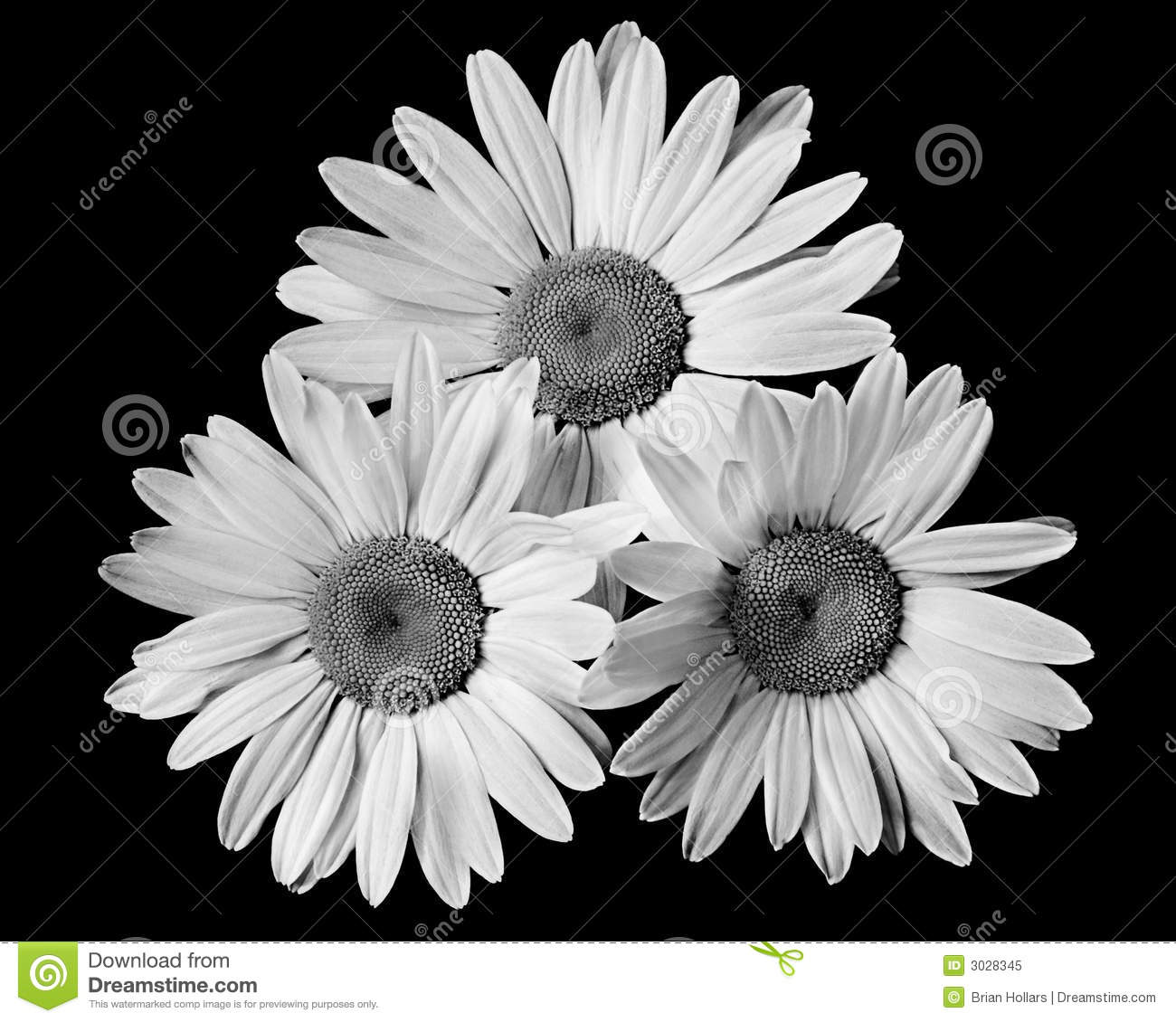 Three Daisy's Black And White Royalty Free Stock Photo ...