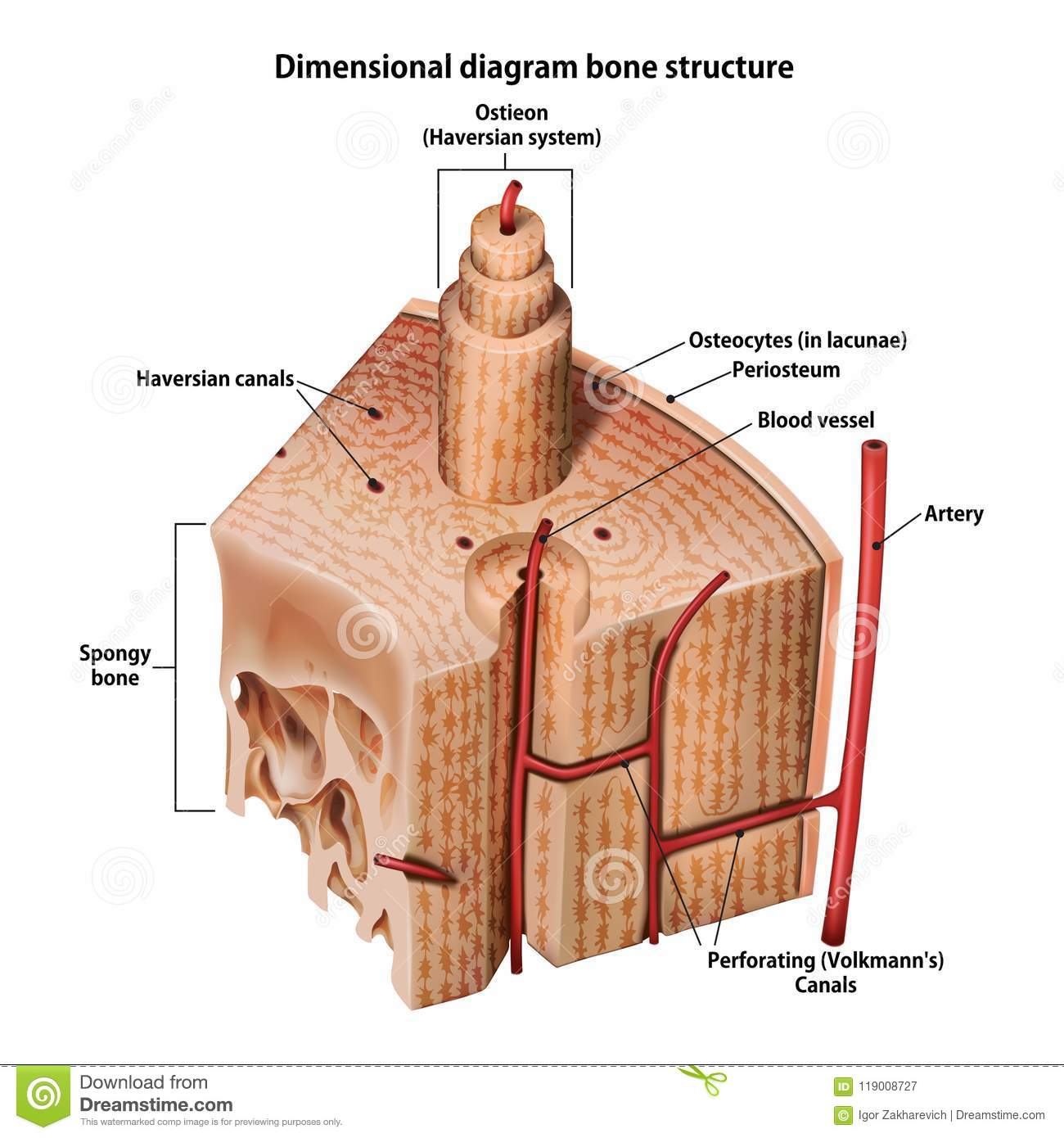 Three-dimensional diagram bone structure