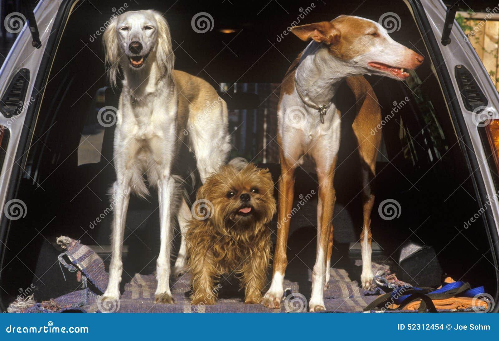 Three dogs in back of car, Alexandria, Washington, DC
