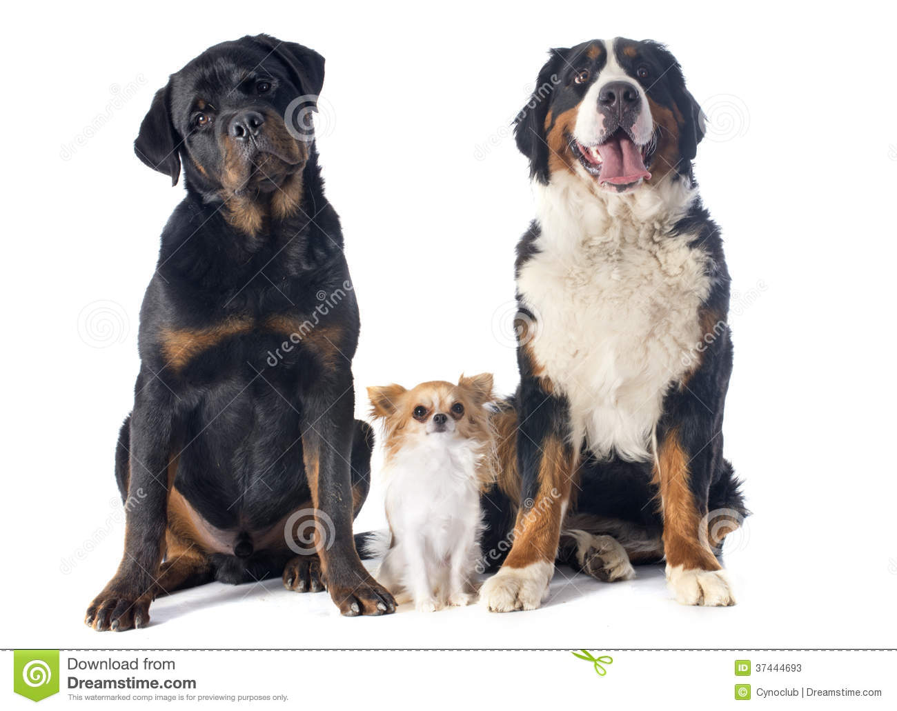 Portrait of a purebred bernese mountain dog chihuahua and rottweiler ...