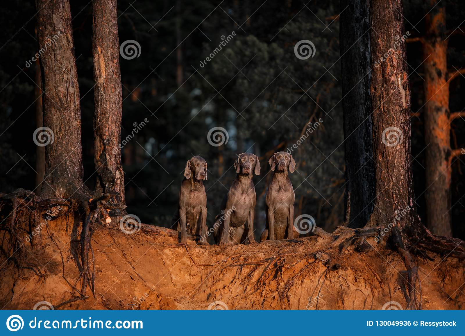 Three dogs in a row looking at camera in forest