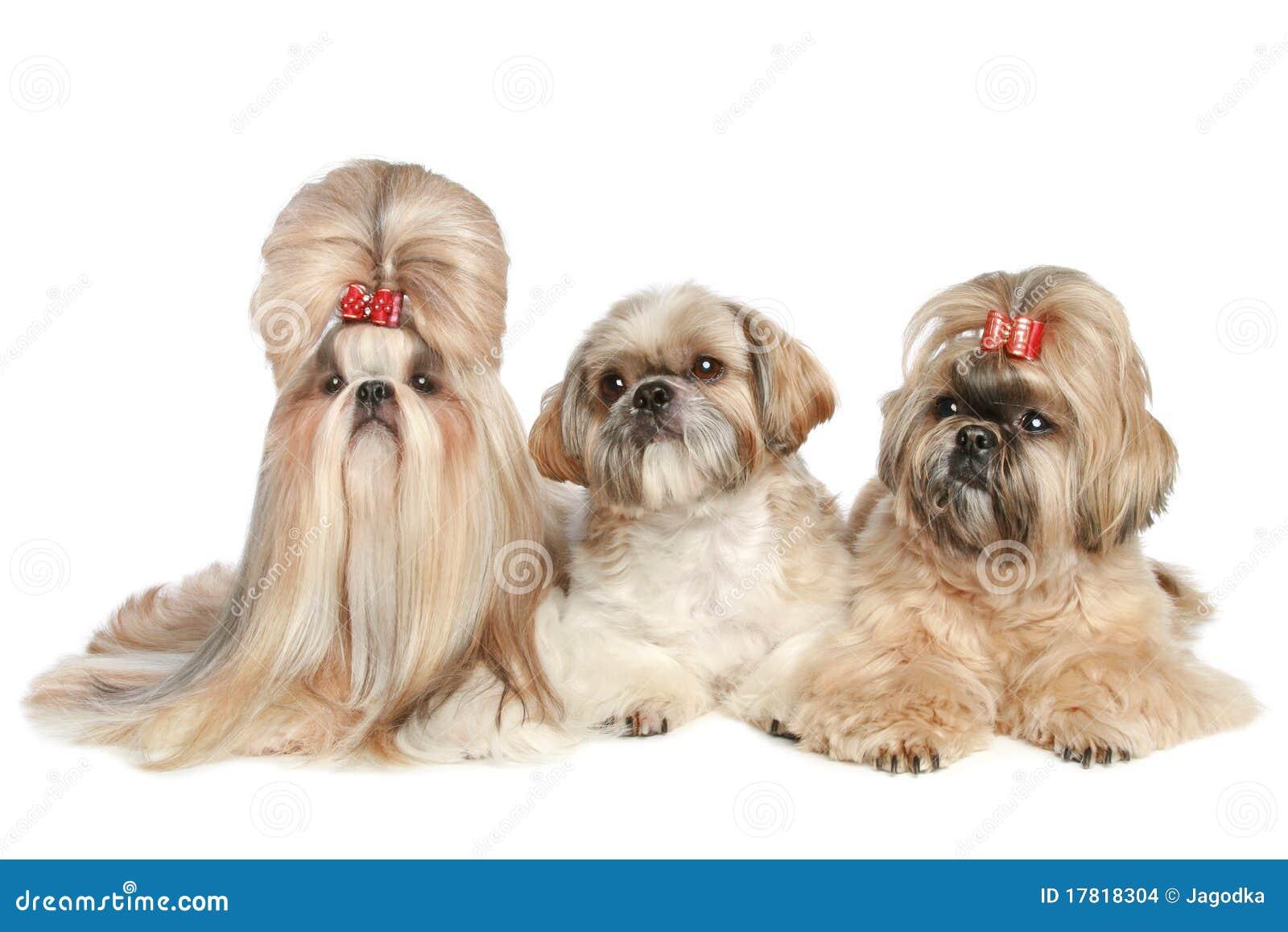 Three dogs Shih tzu lie on a white background