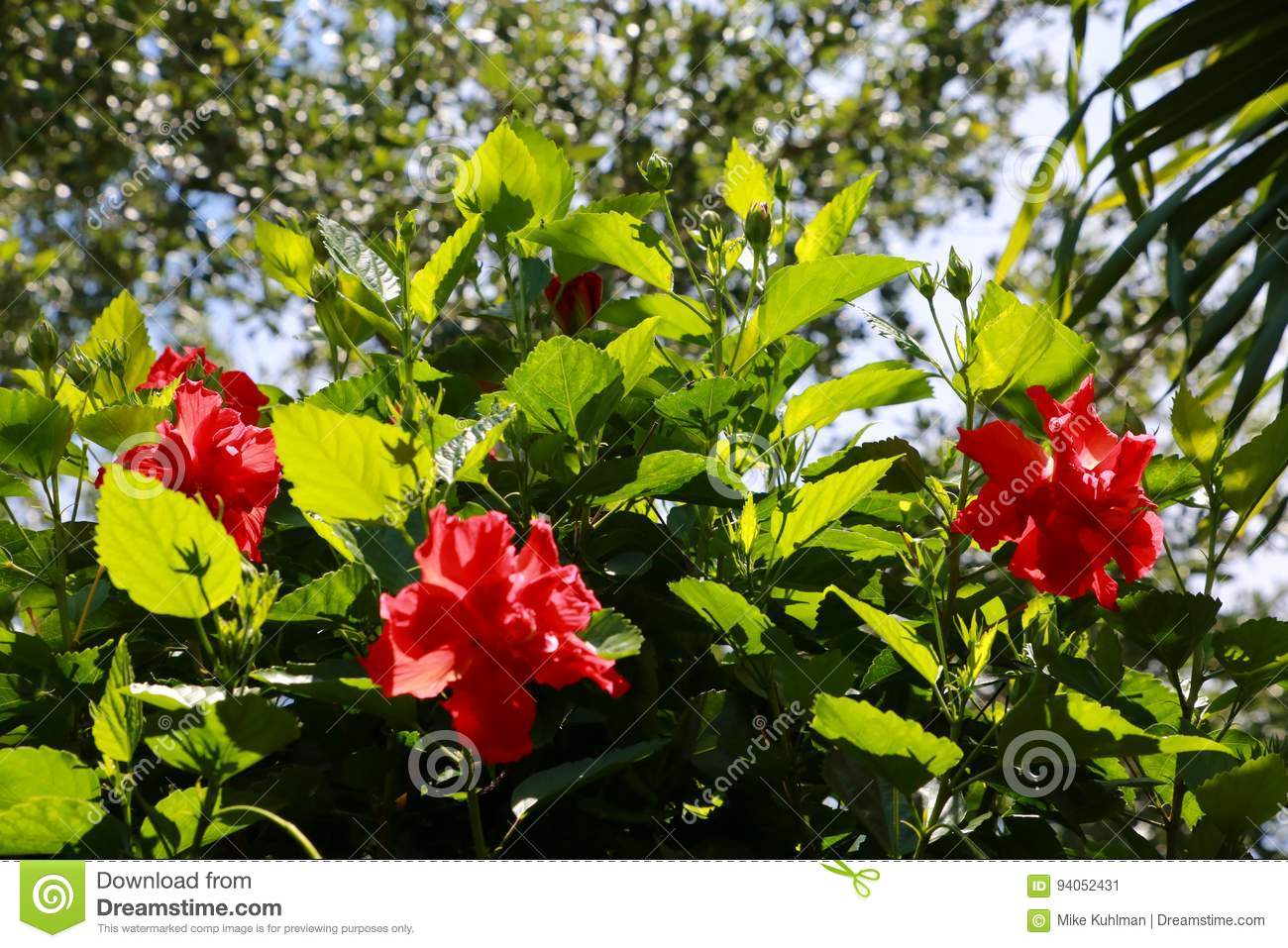 Three Double Hibiscus In Tree Stock Image Image Of Against