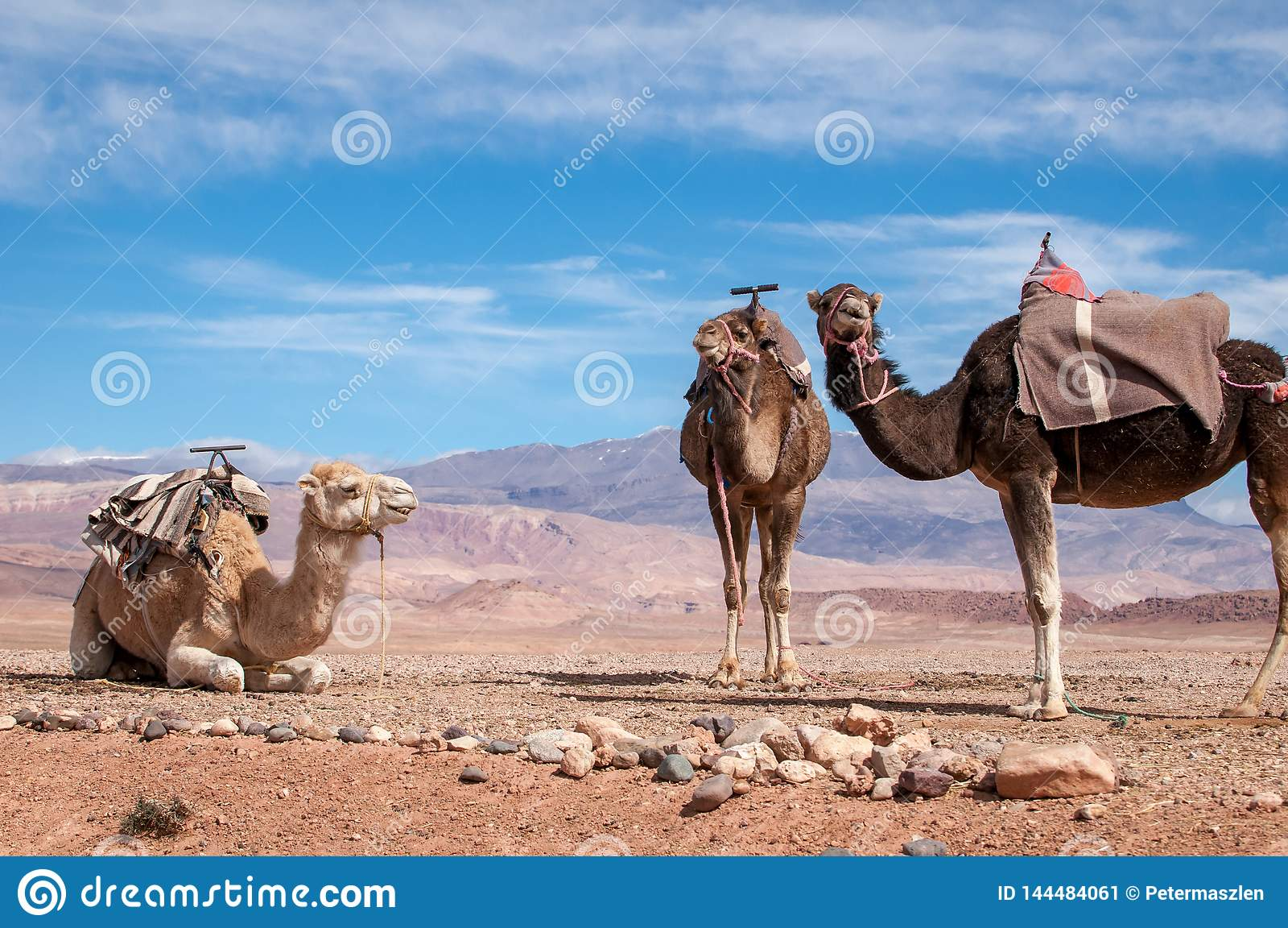 Traditional Dromedaries in Moroccan desert