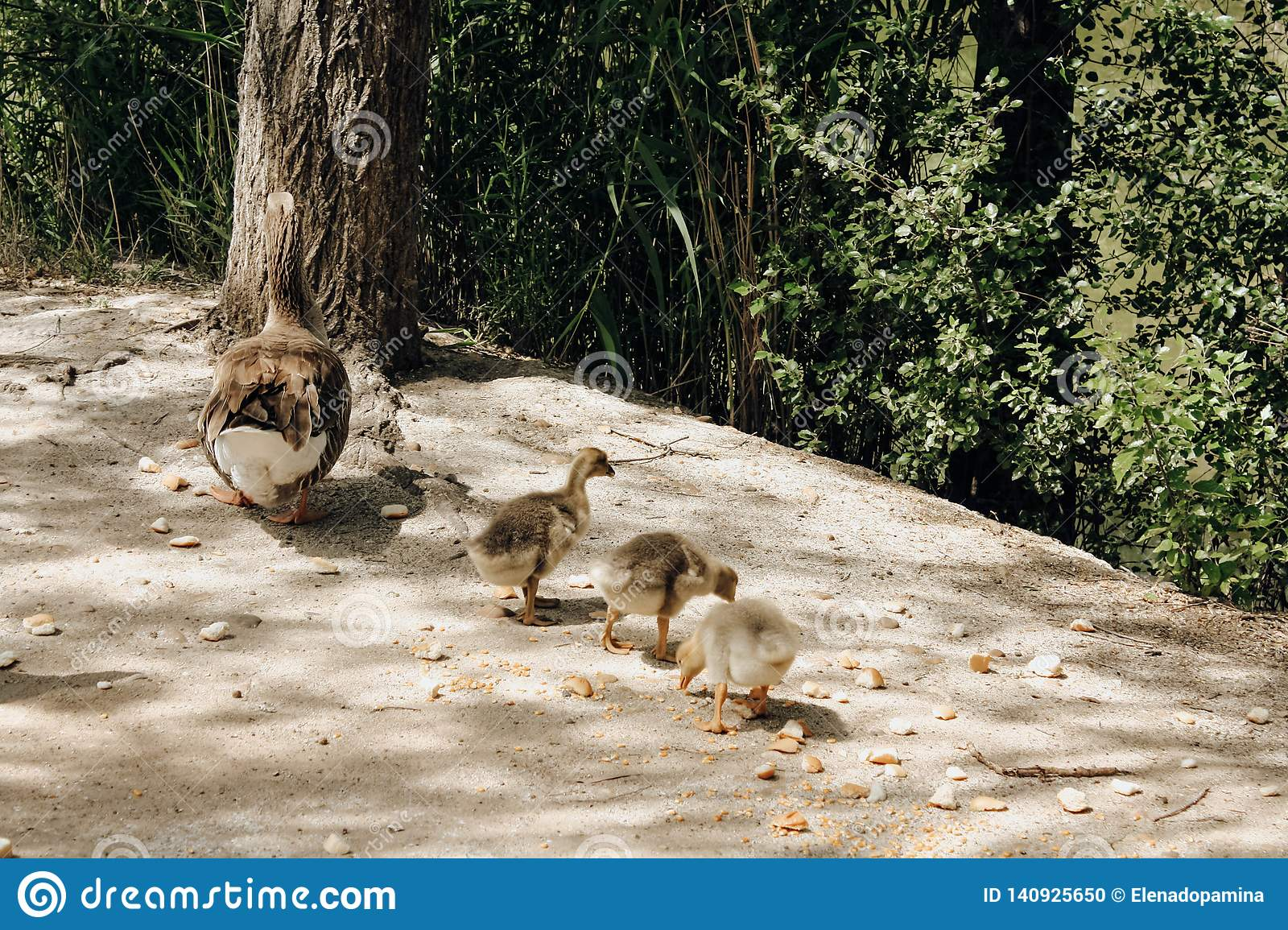 Three ducklings with their mother in the park