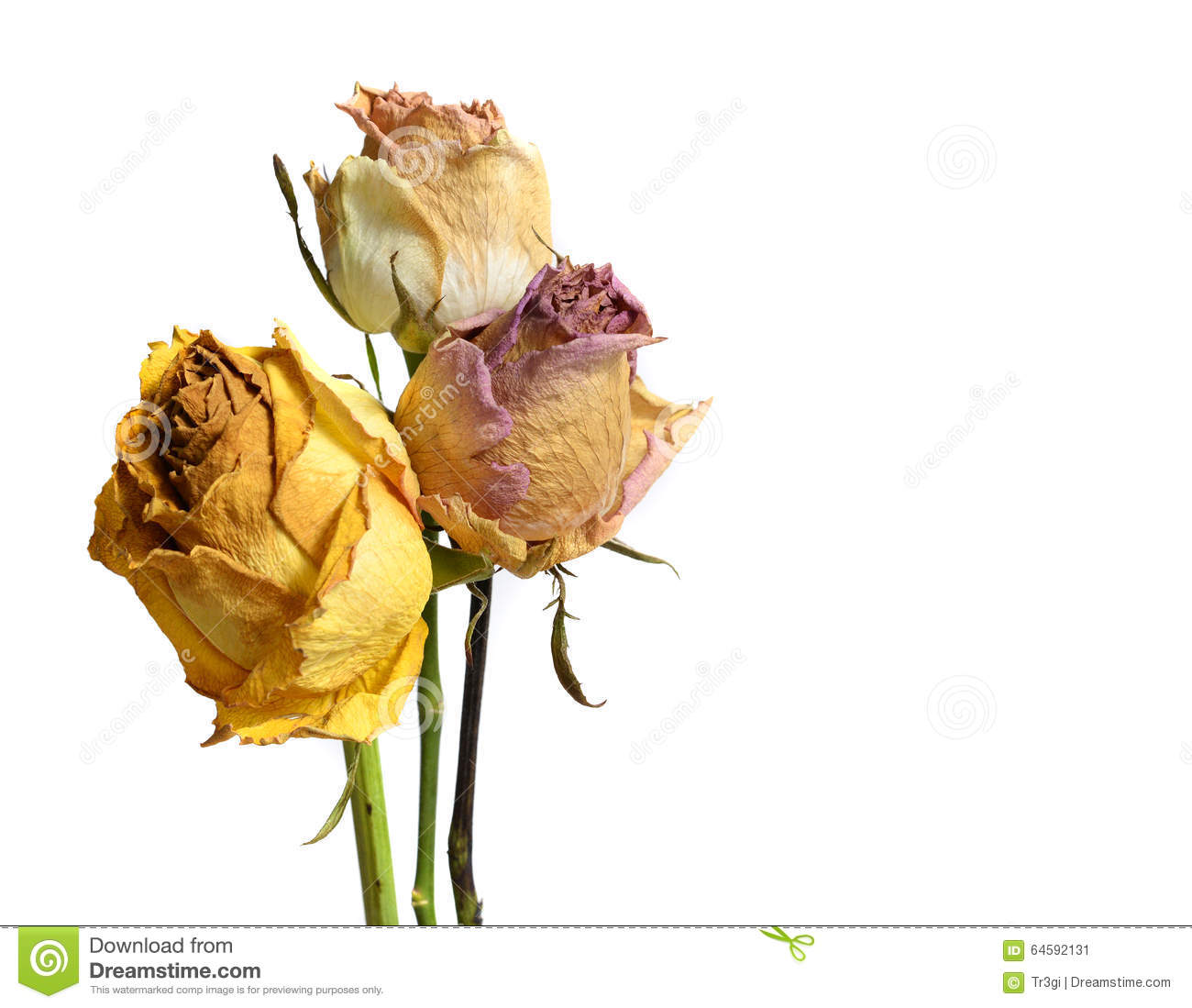 Download Three Faded Withered Rose Flowers Isolated On White Stock Image - Image of single, faded: 64592131