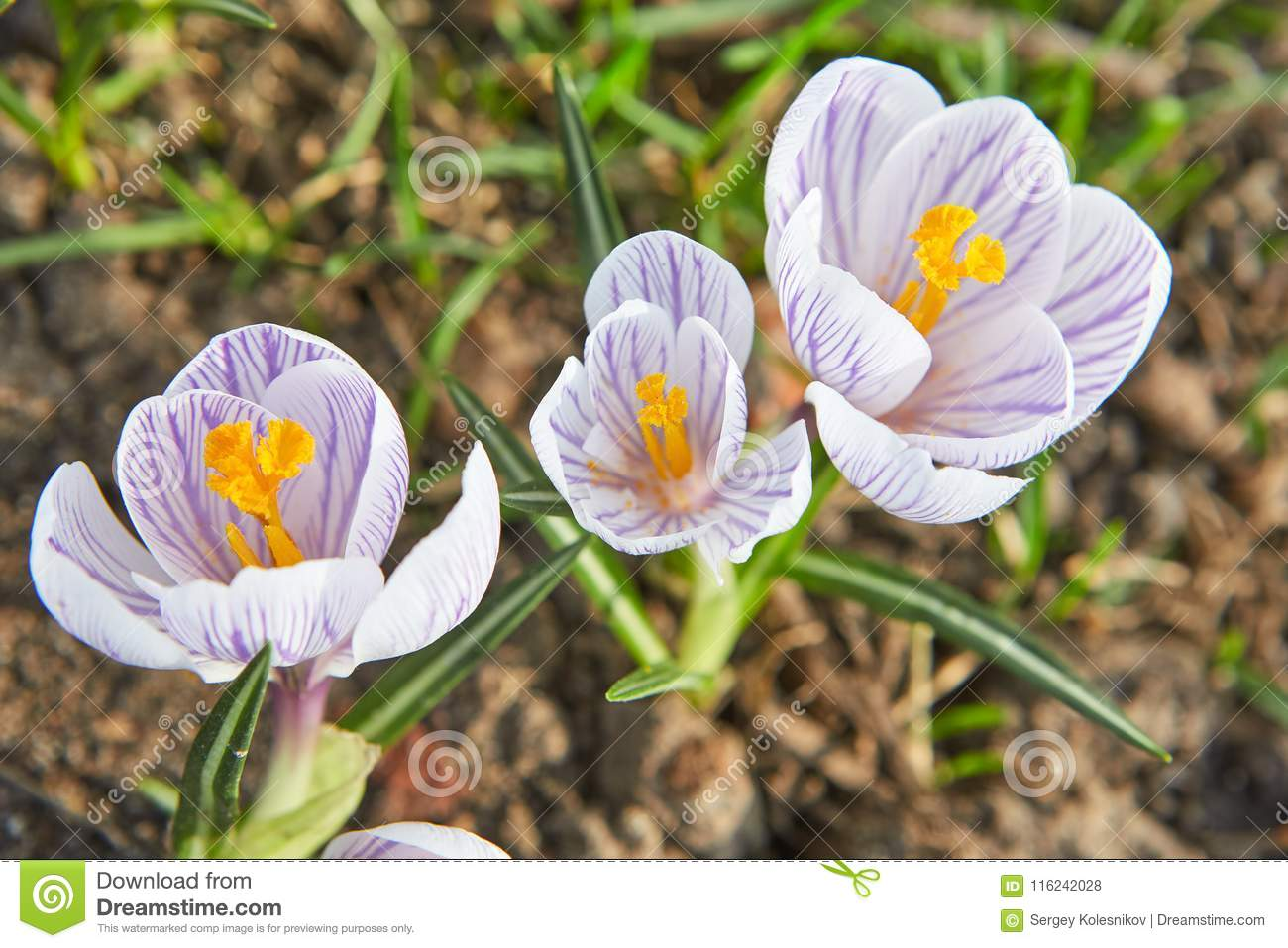 Three First Spring Flowers Crocuses White Colour With Purple Lines