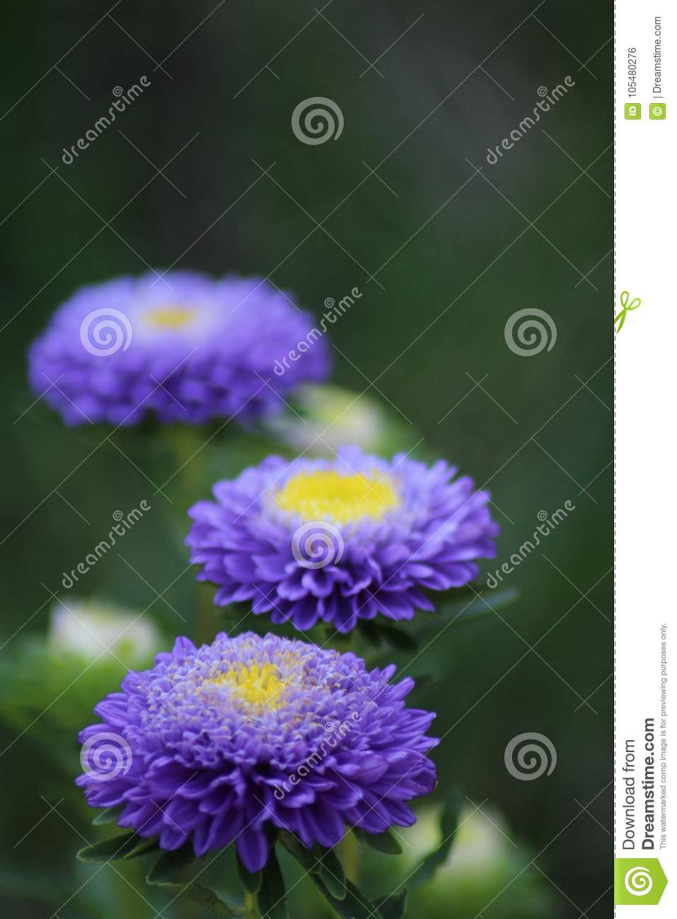 Purple Flower With A Yellow Center Stock Photo Image Of Summer