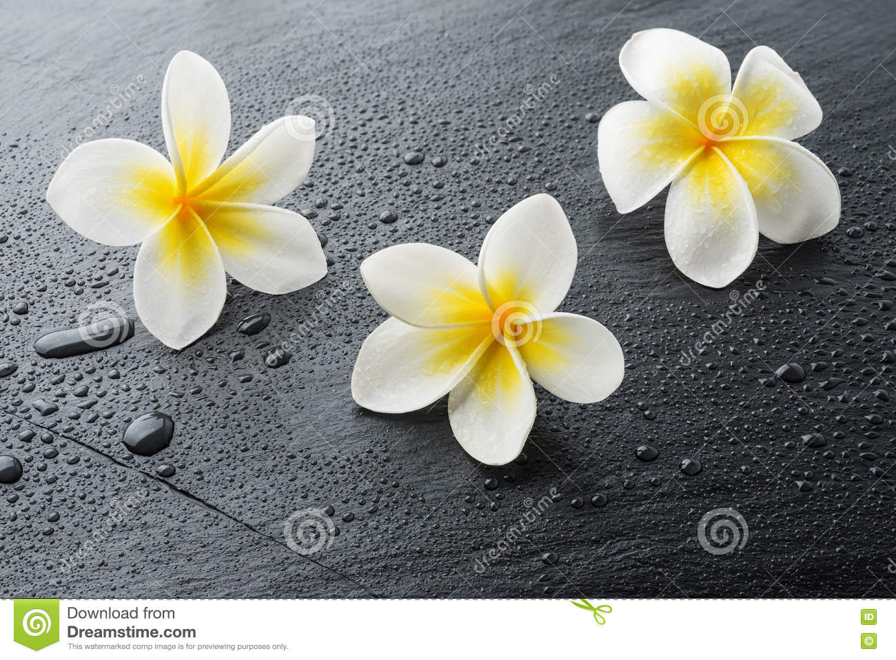 Three Frangipani Plumeria Spa Flowers Stock Image Image Of Hawaii