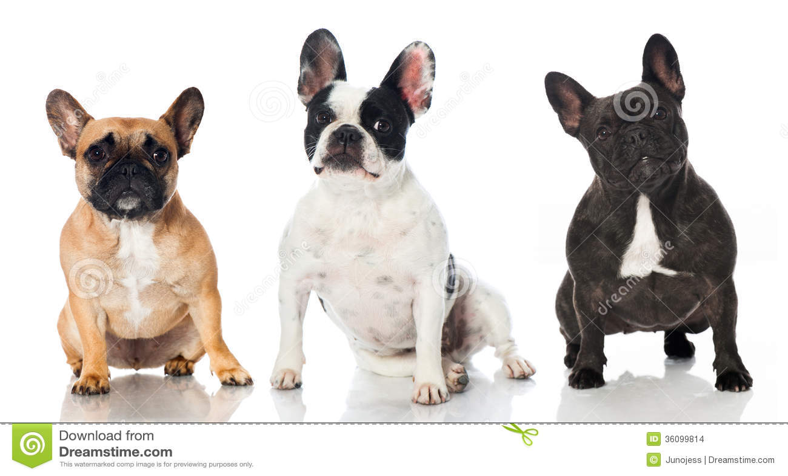 Three french bulldogs ...