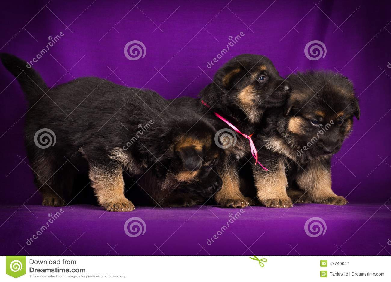 Three German Shepherd puppy on a purple background.