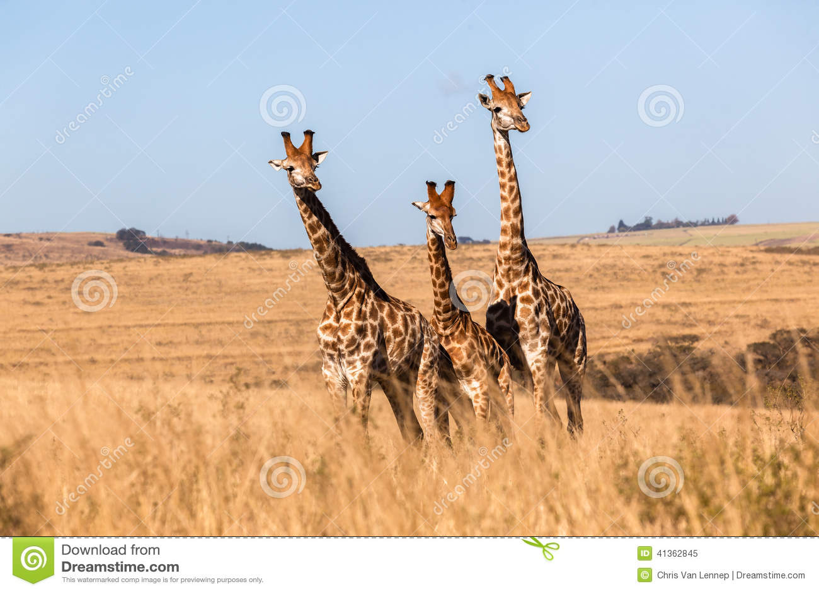 Three Giraffes Together Wildlife Animals Stock Photo - Image: 41362845