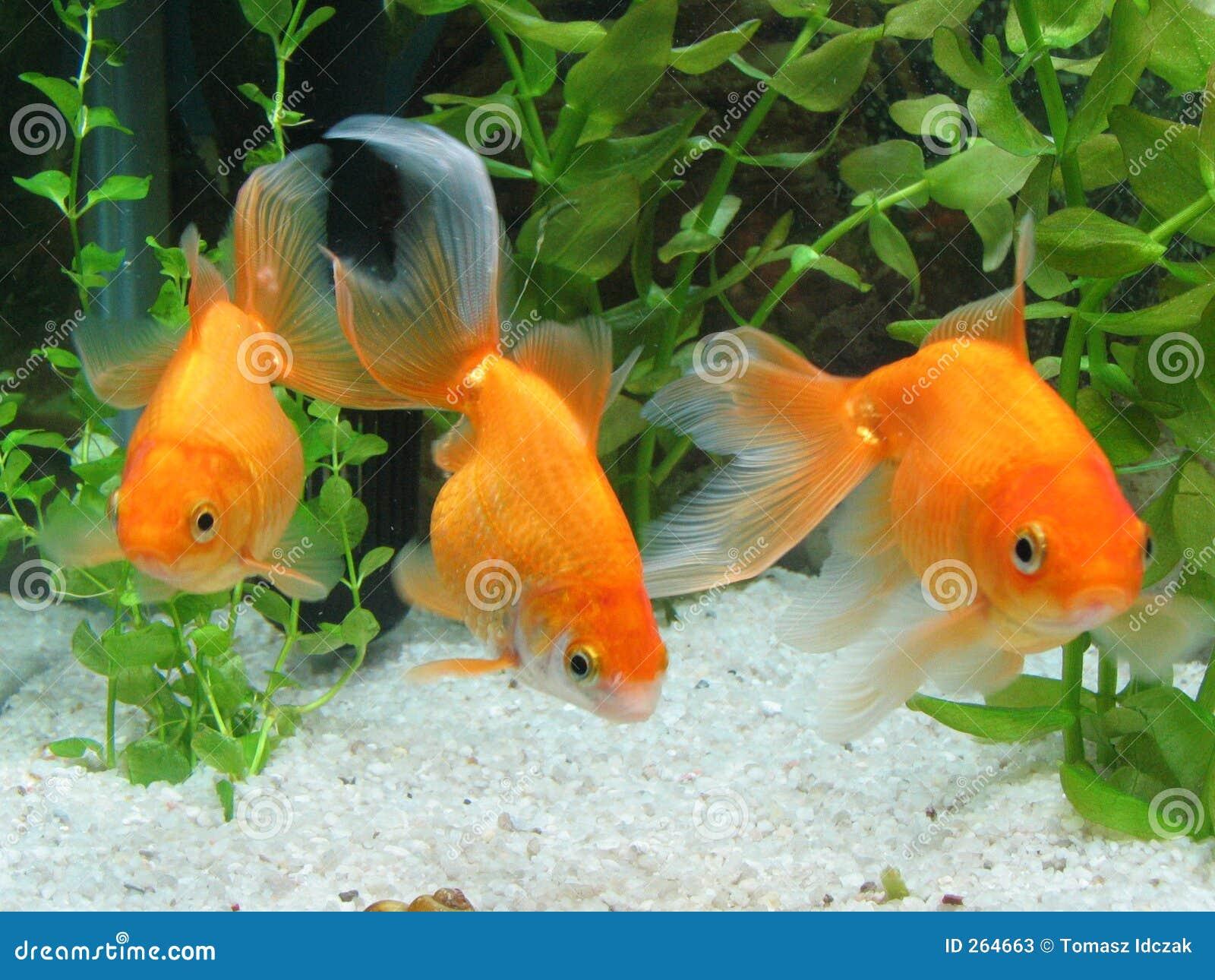Three goldfish in aquarium stock image image of group for Aquarium goldfische