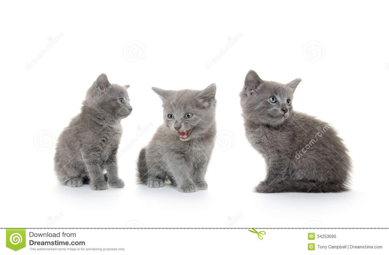 Three gray kitten stock image Image of adorable cute