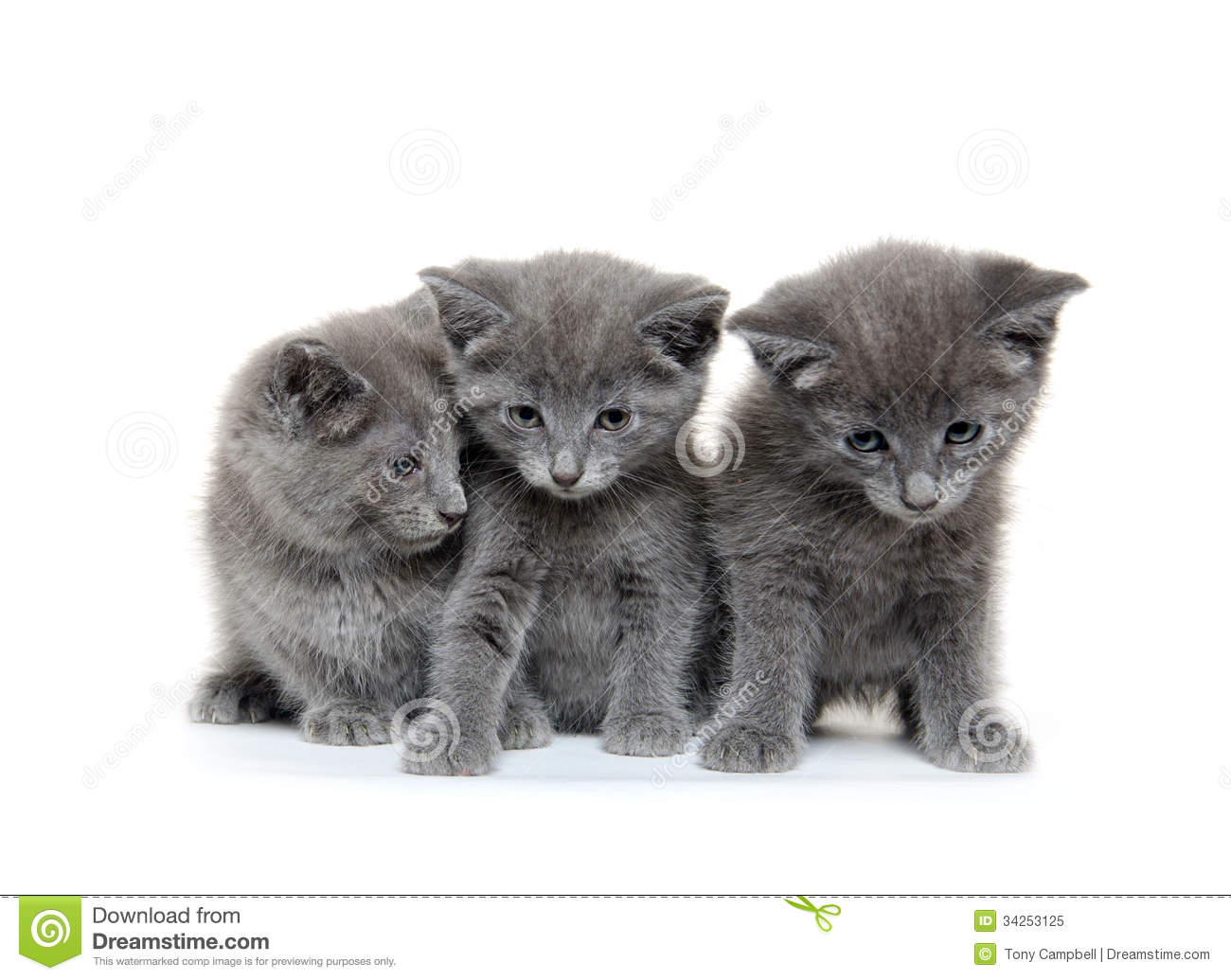 Three gray kitten stock image Image of animal adorable