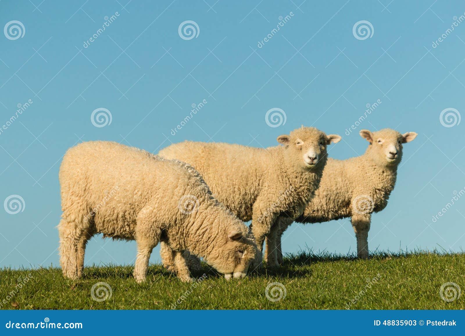 Three sheep - photo#20