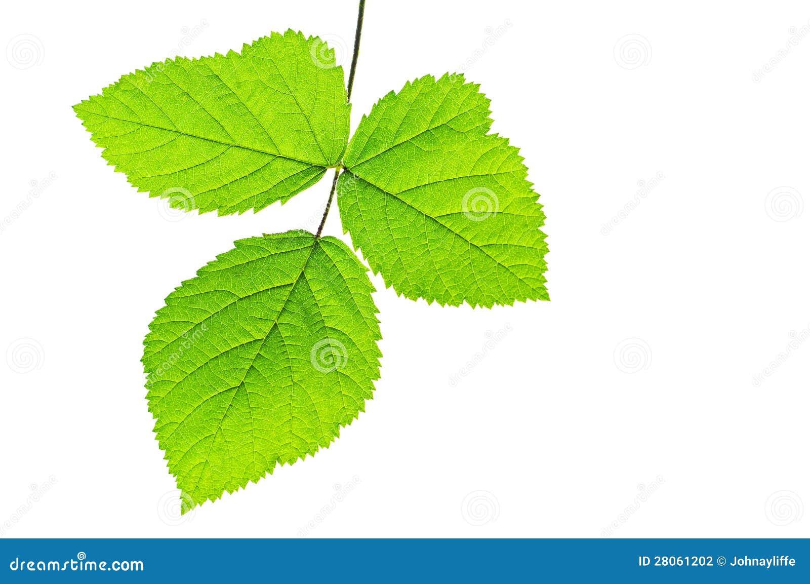 Three green leaves