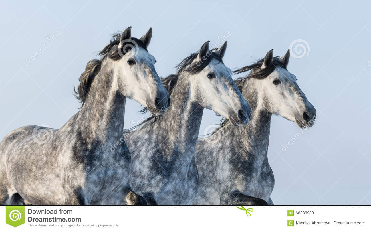 Three grey horses - portrait in motion