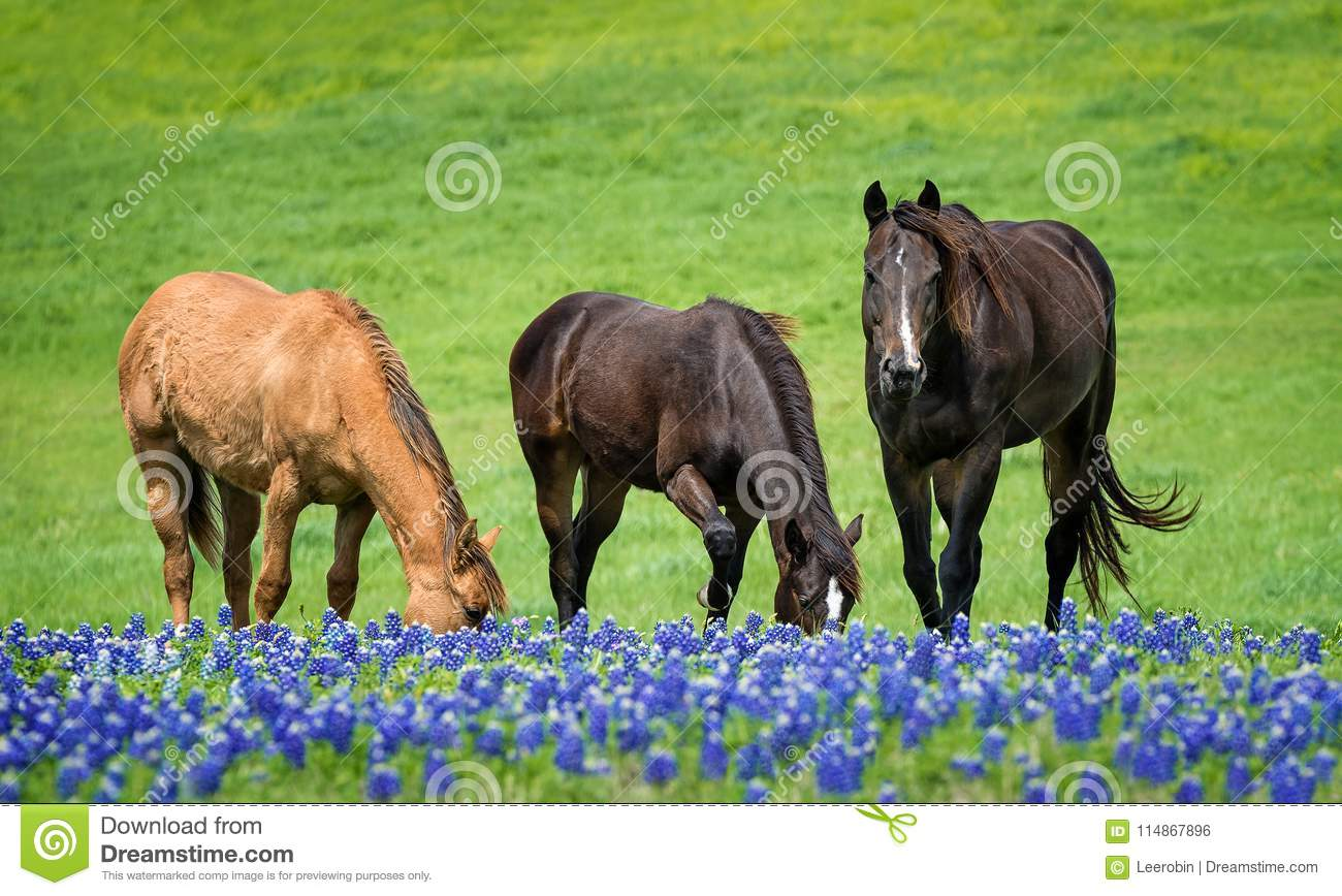 Three Horses Grazing In Texas Bluebonnets In Spring Stock Photo