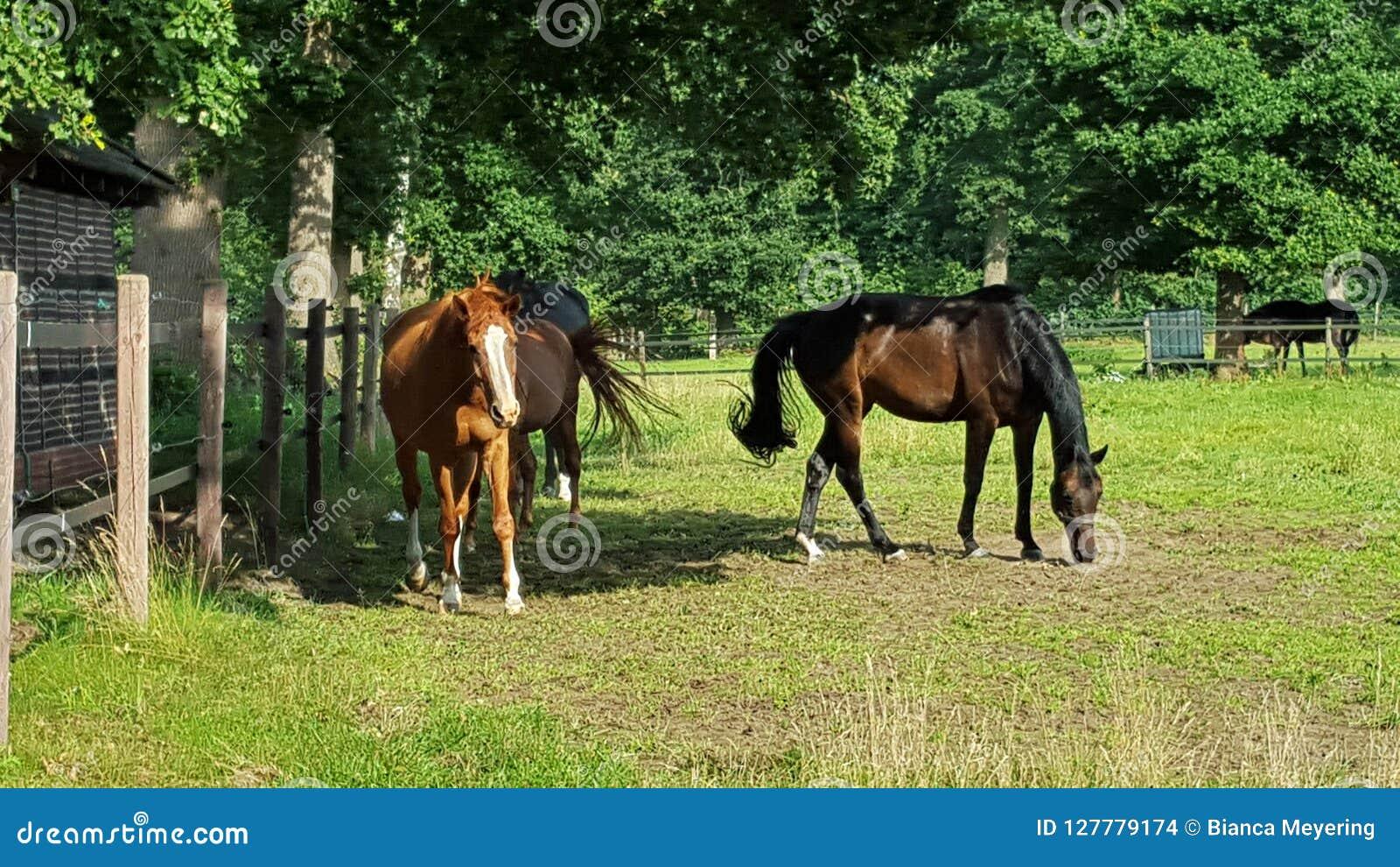 Three horses on a pasture feeding grass